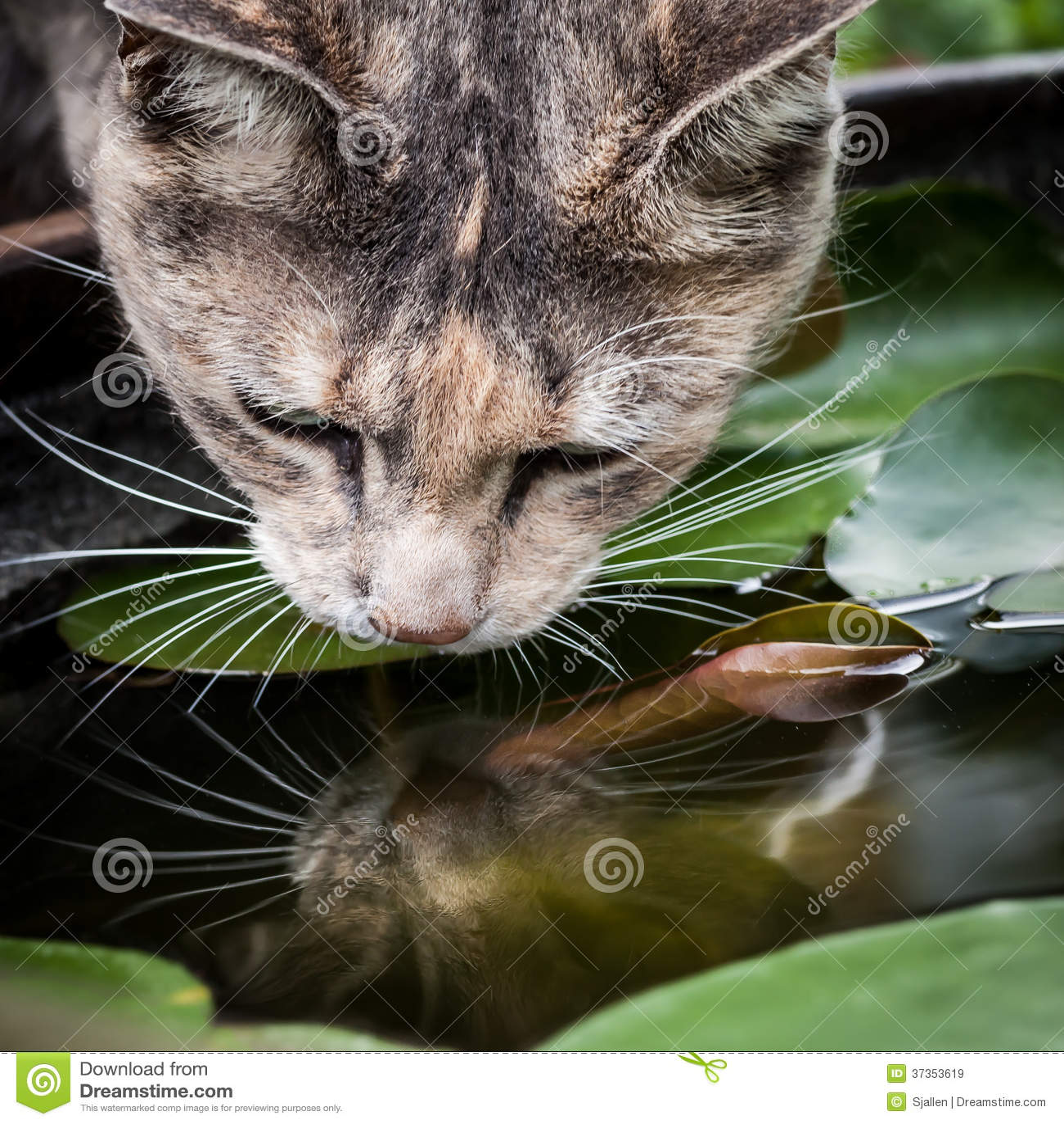 Tortoiseshell-Tabby Cat Drinking from Fish Bowl