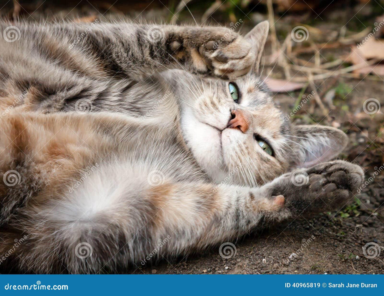 Tortoiseshell Tabby Cat Rolling On Dirt, Asking For Belly ... Tabby Cat Sitting Up