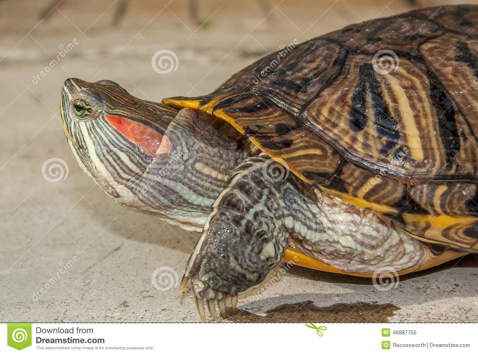 tortue d eau douce photo stock image 46887755