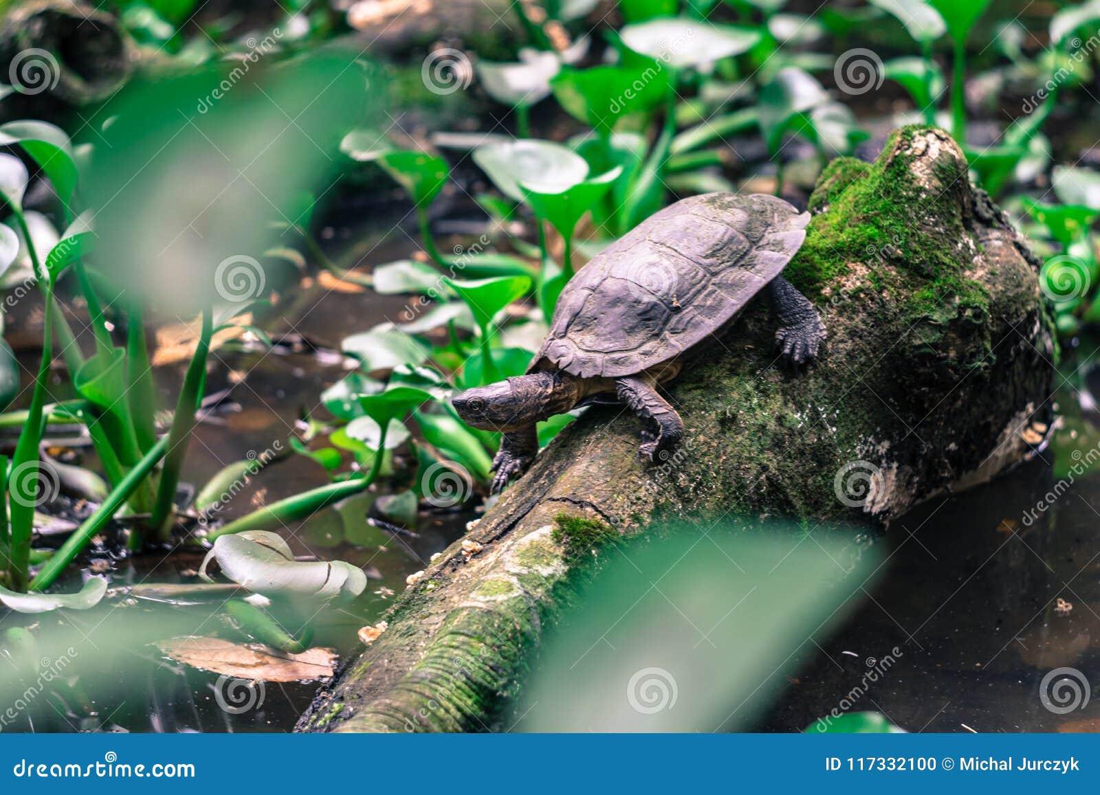 Tortue dans l arbre dans la forêt tropicale du Vietnam