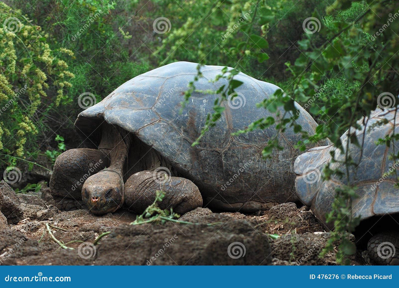 Tortue de Galapagos