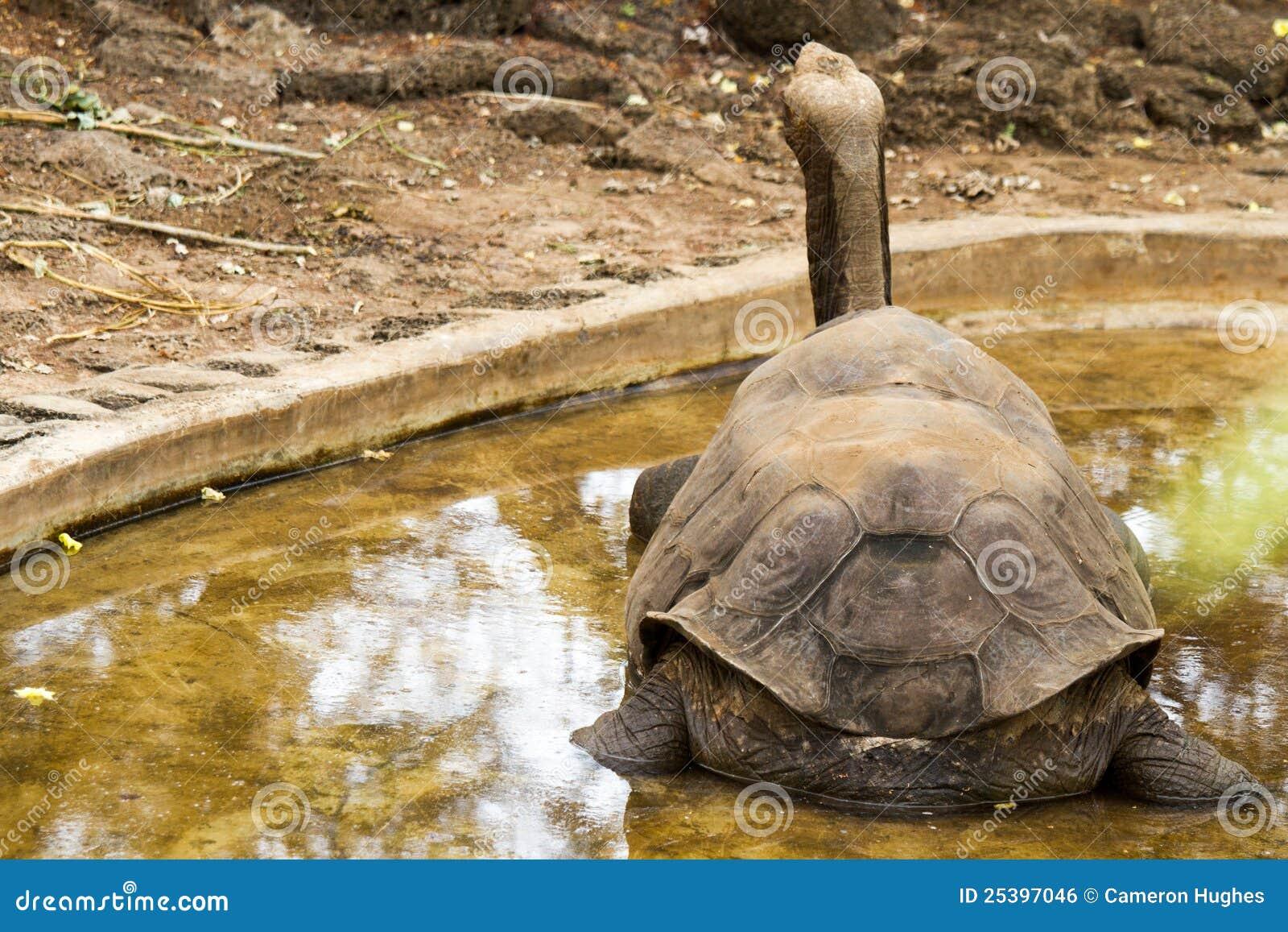 Tortue de Galapagos - George seul