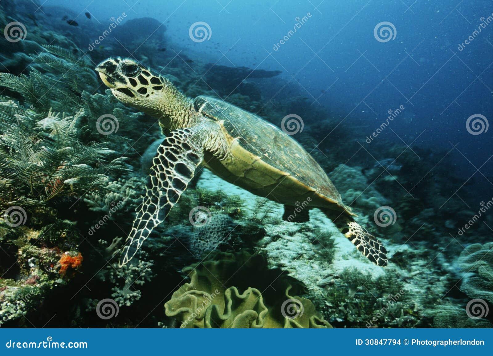 Tortue de hawksbill de Raja Ampat Indonesia Pacific Ocean (imbricata d eretmochelys) croisant au-dessus du récif coralien
