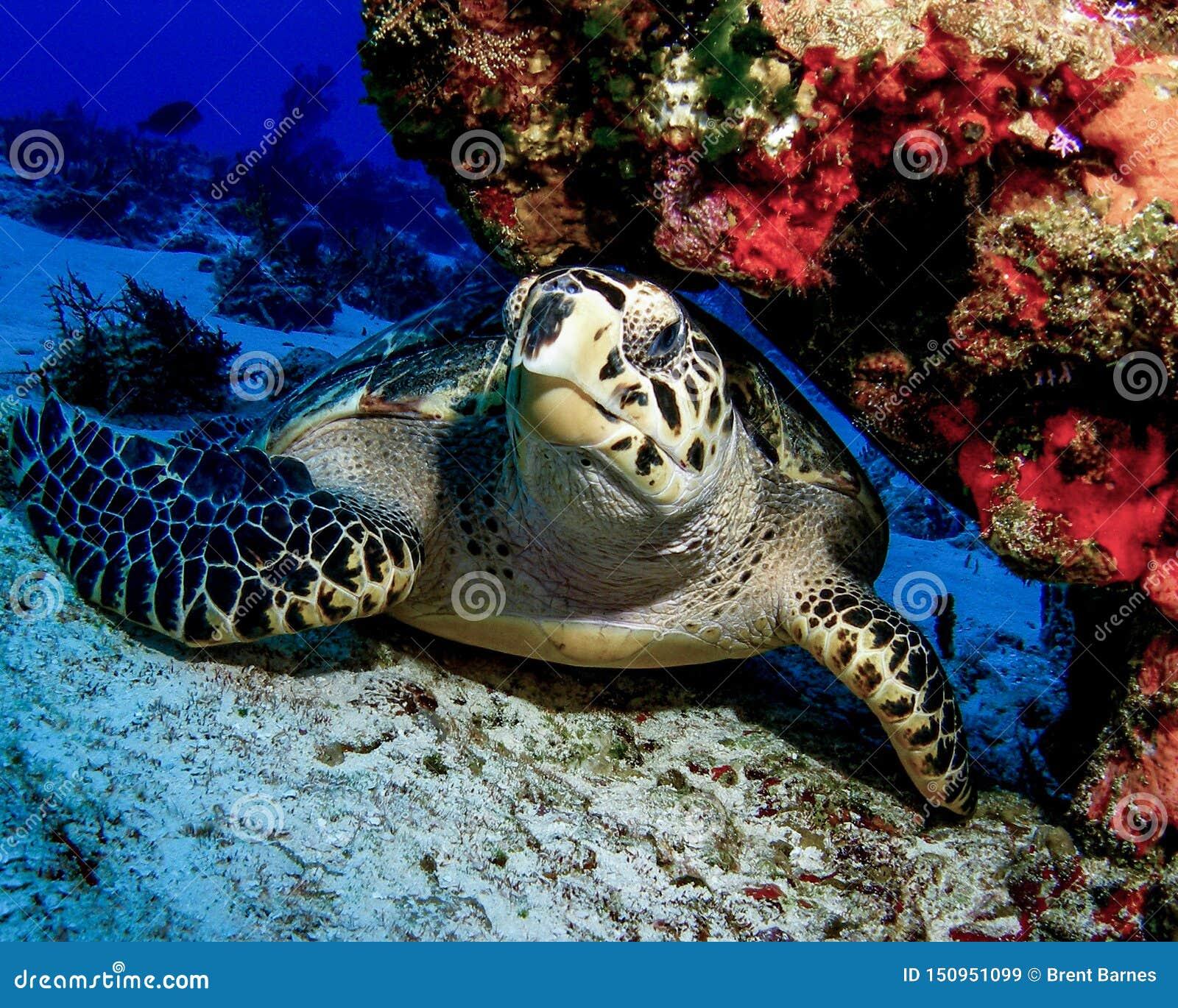 Tortue de Hawksbill se reposant sous Coral Ledge dans Cozumel, Mexique