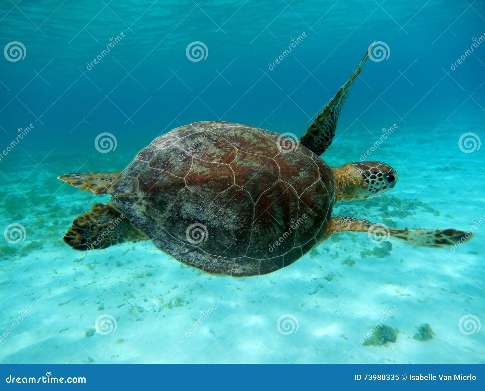 Tortue de mer Curaçao