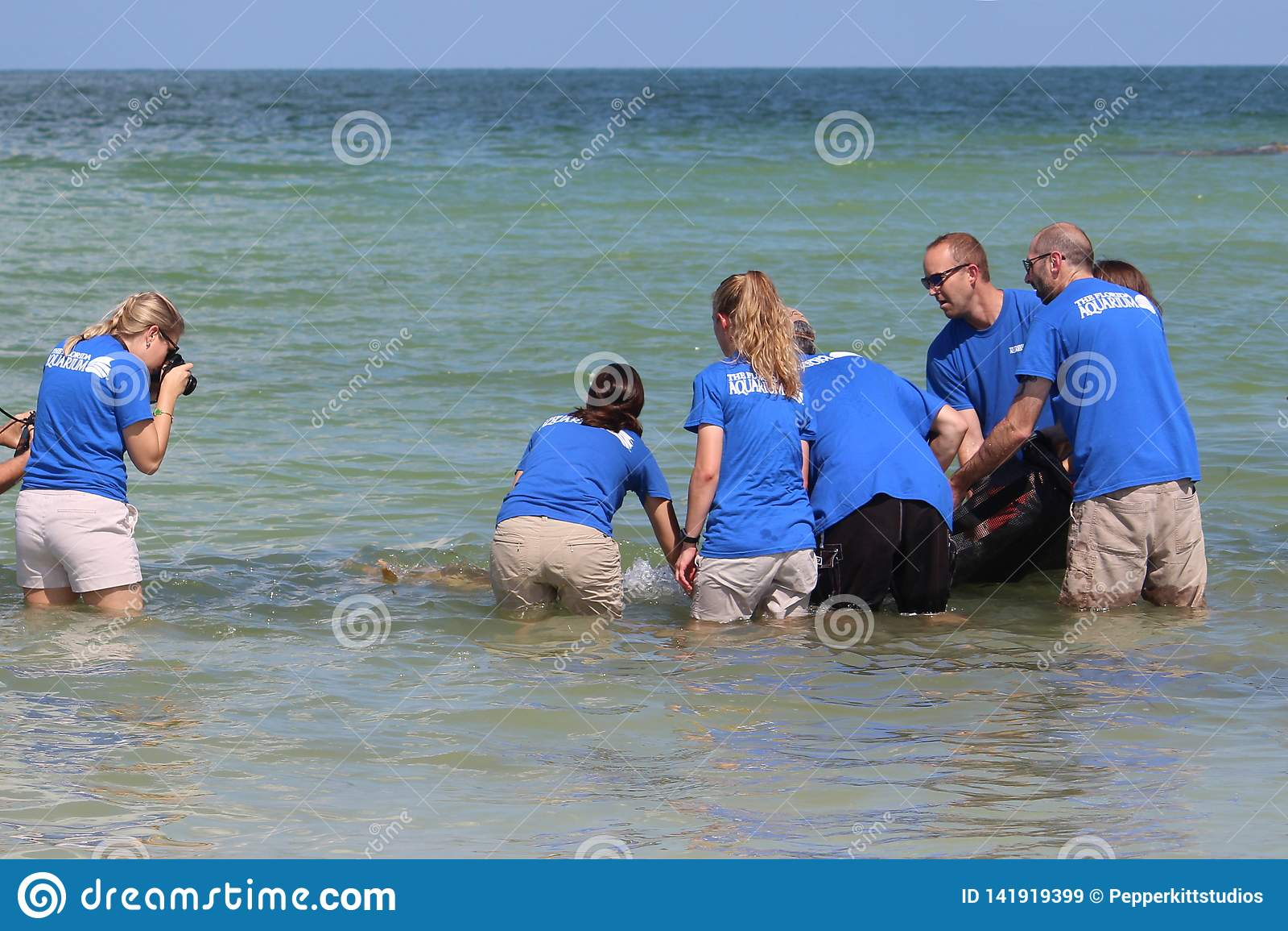 Tortue de mer d imbécile de marée rouge libérée par l aquarium de la Floride en août 2017
