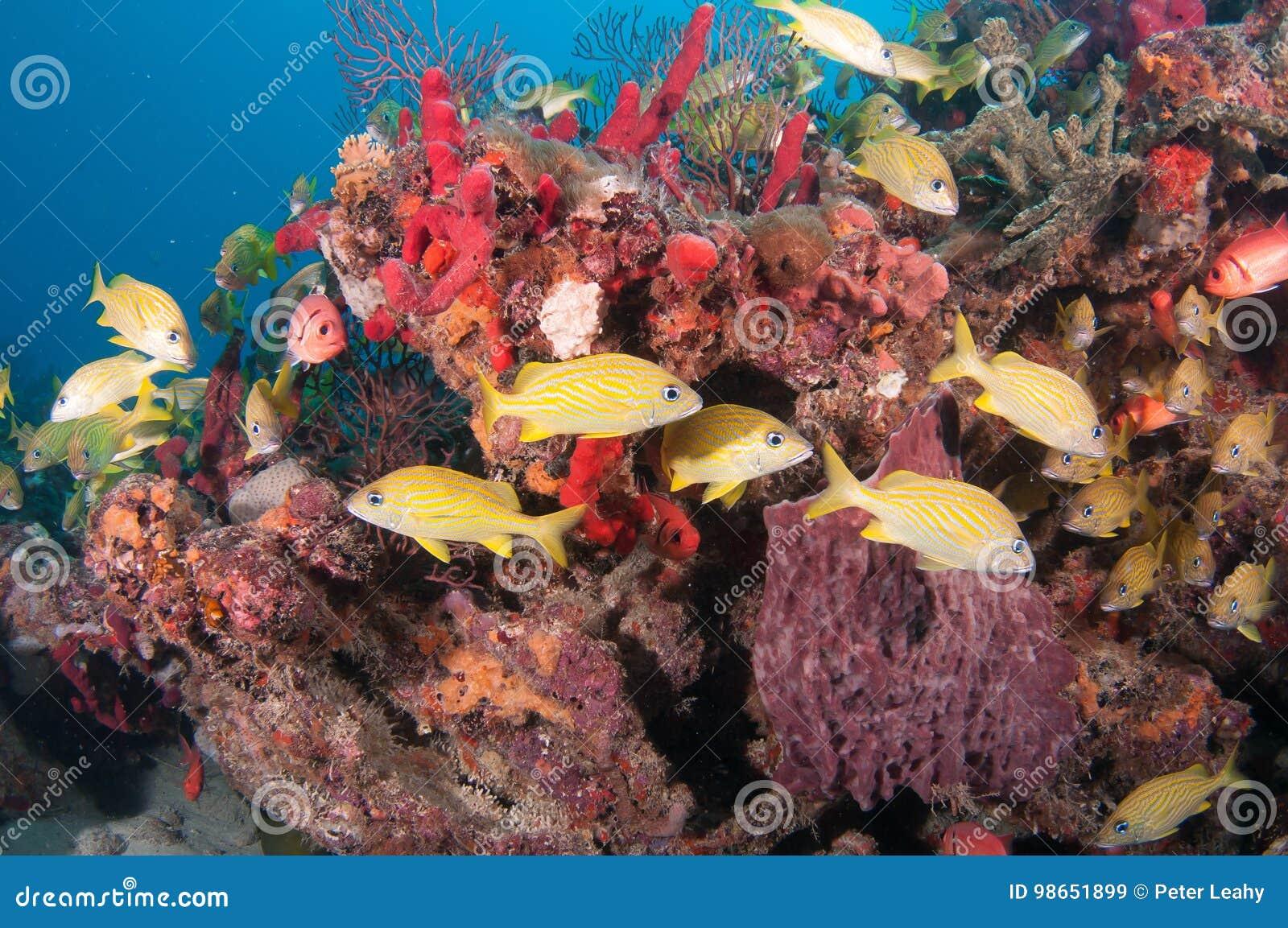 Tortue de mer de merisier sur un récif en Floride du sud