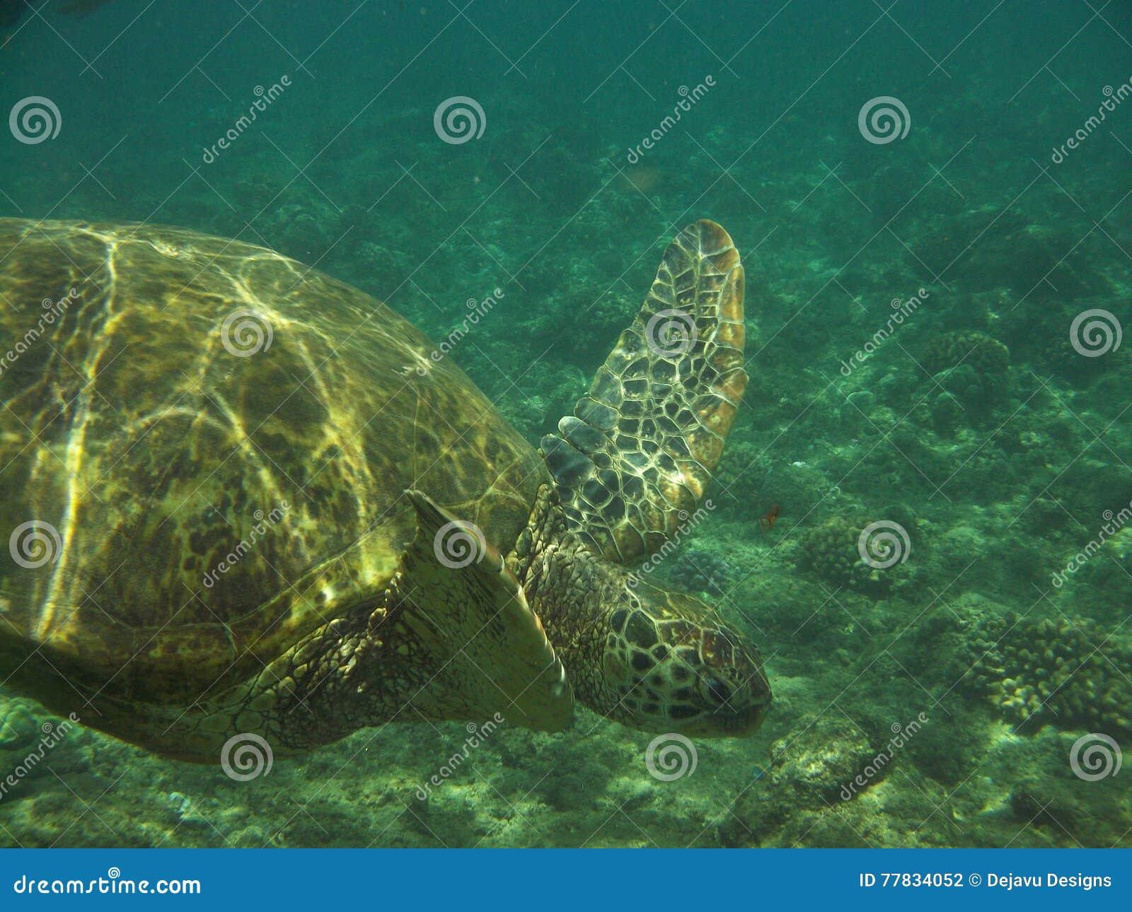 Tortue de mer plongeant sous l eau