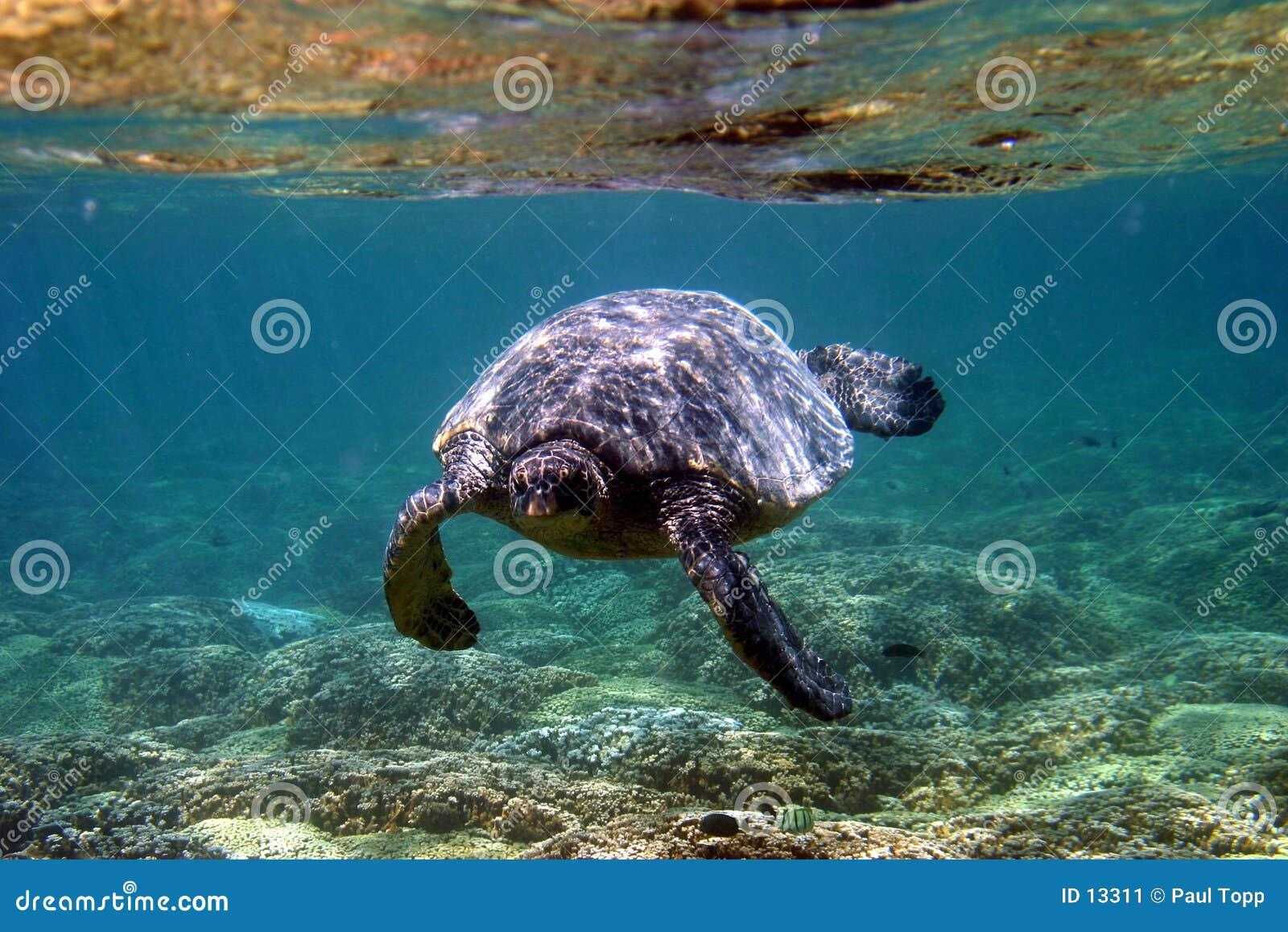 Tortue de mer sous-marine