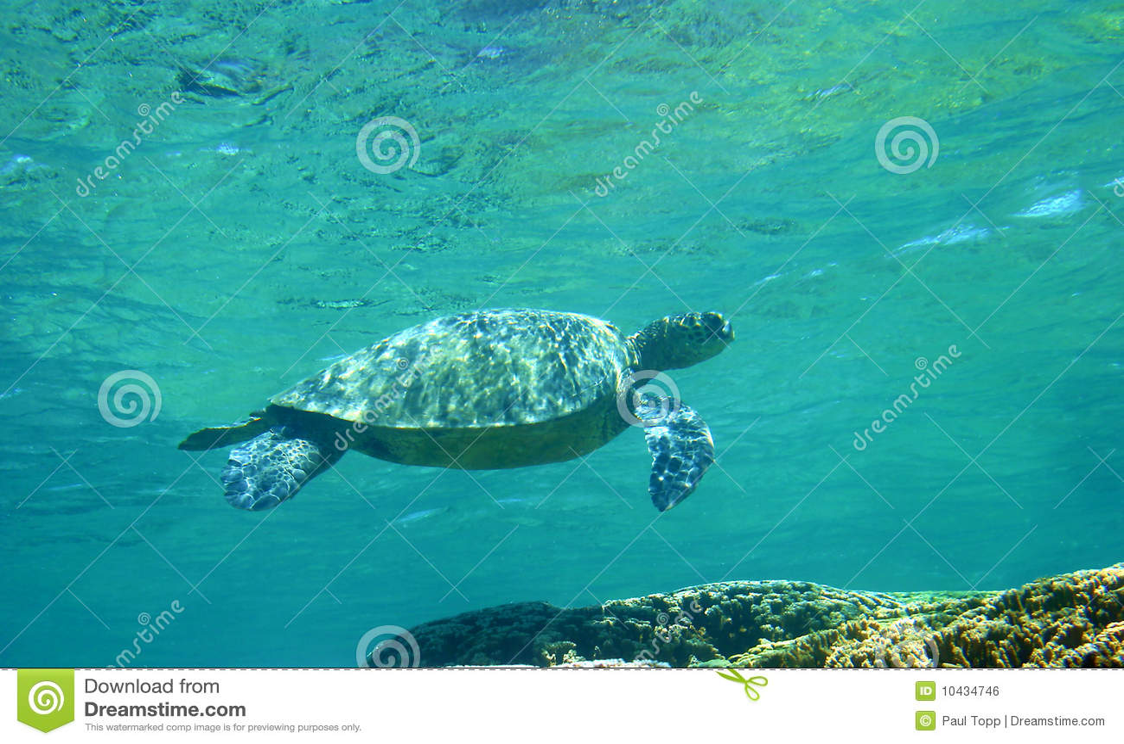 Tortue de mer verte d Hawaï