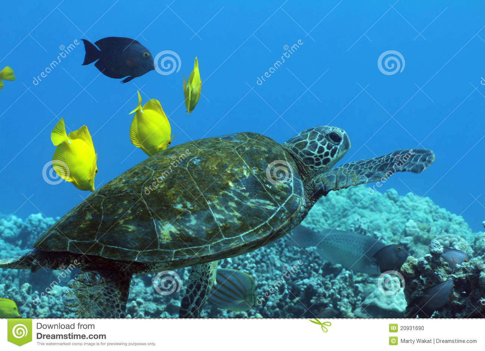 Tortue de mer verte hawaïenne
