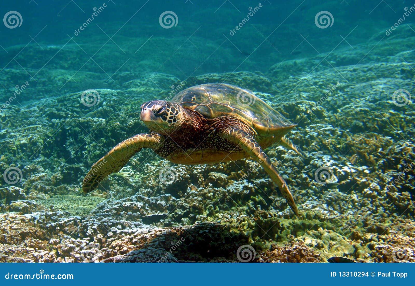 Tortue de mer verte nageant sous l eau en Hawaï