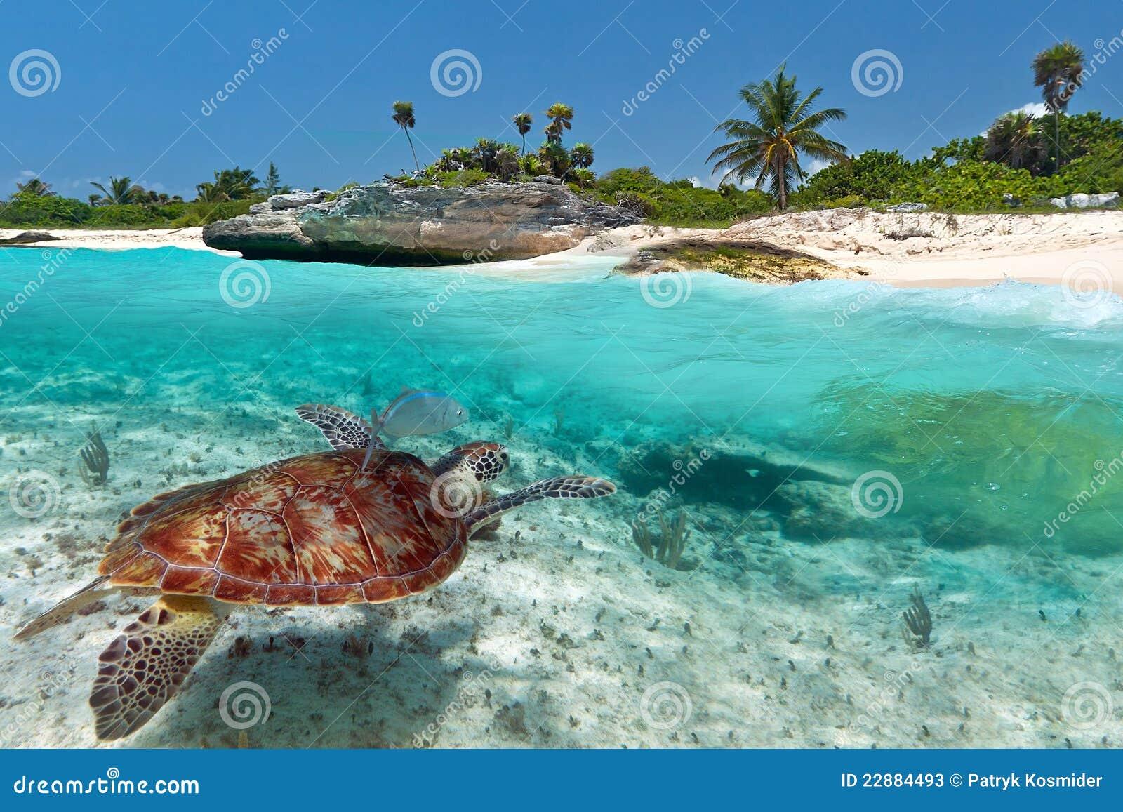 Tortue de mer verte près de plage des Caraïbes