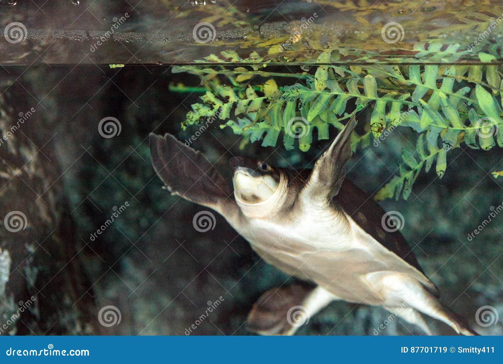 Tortue de rivière de mouche connue sous le nom d insculpta de Carettochelys