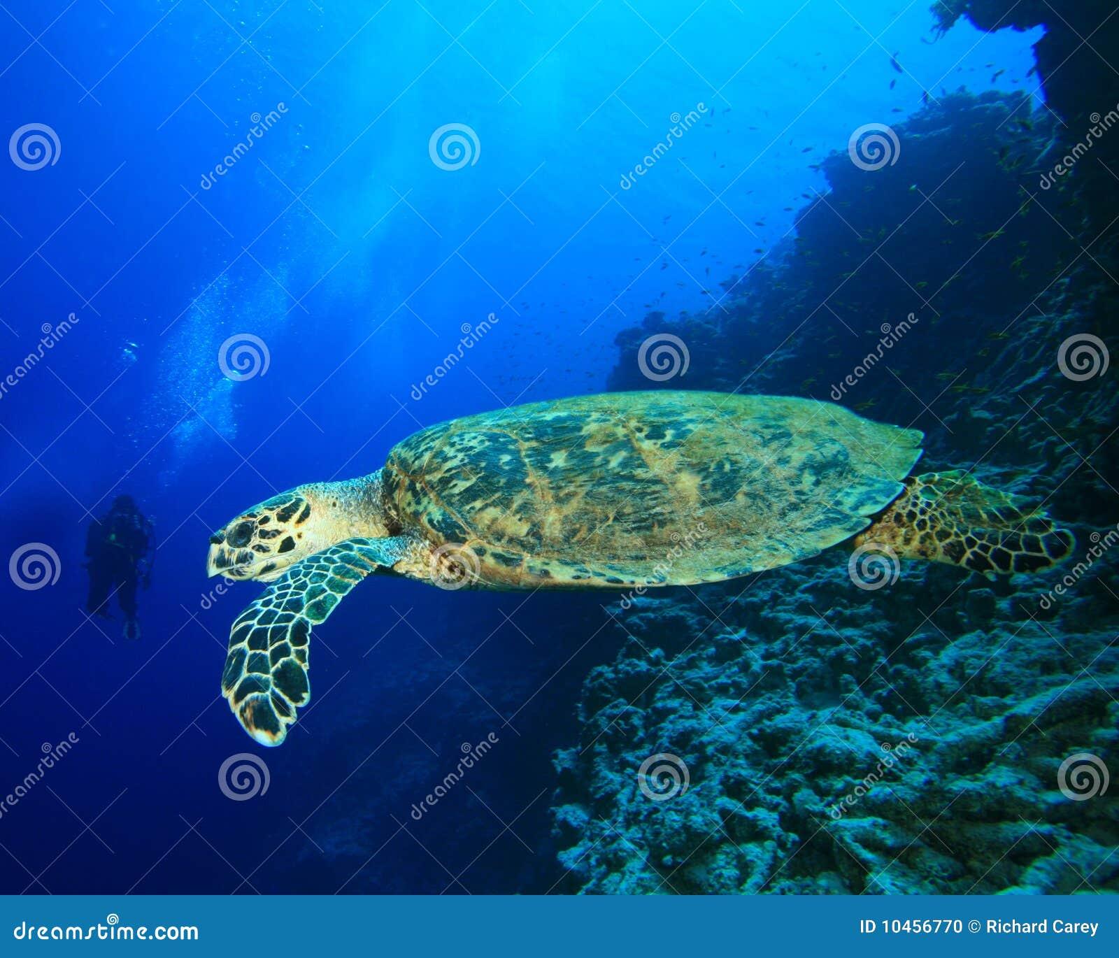 plongeur rencontre tortue)