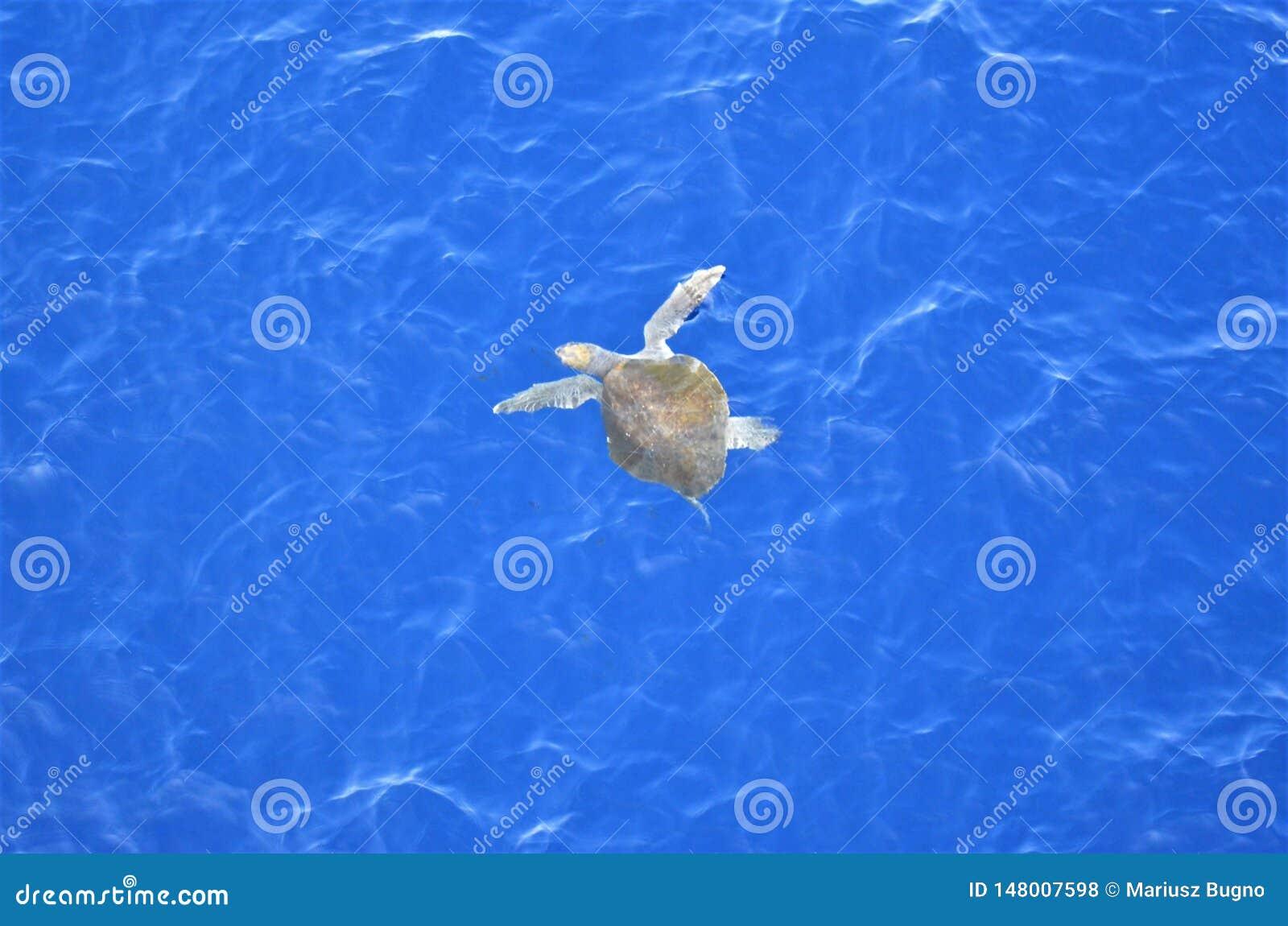 Tortue verte voyageant par l océan pacifique