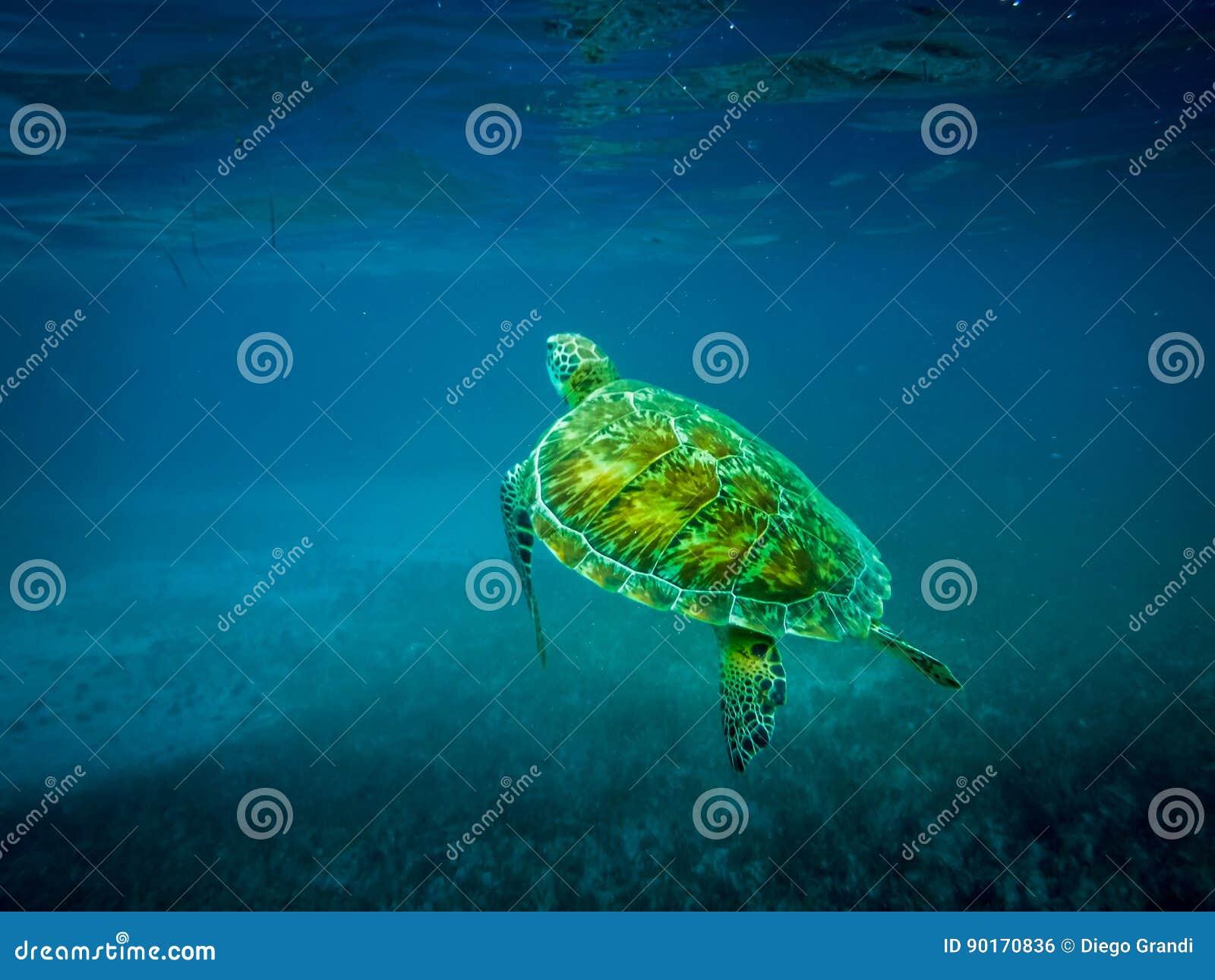 Tortuga de mar en el mar del Caribe - calafate de Caye, Belice