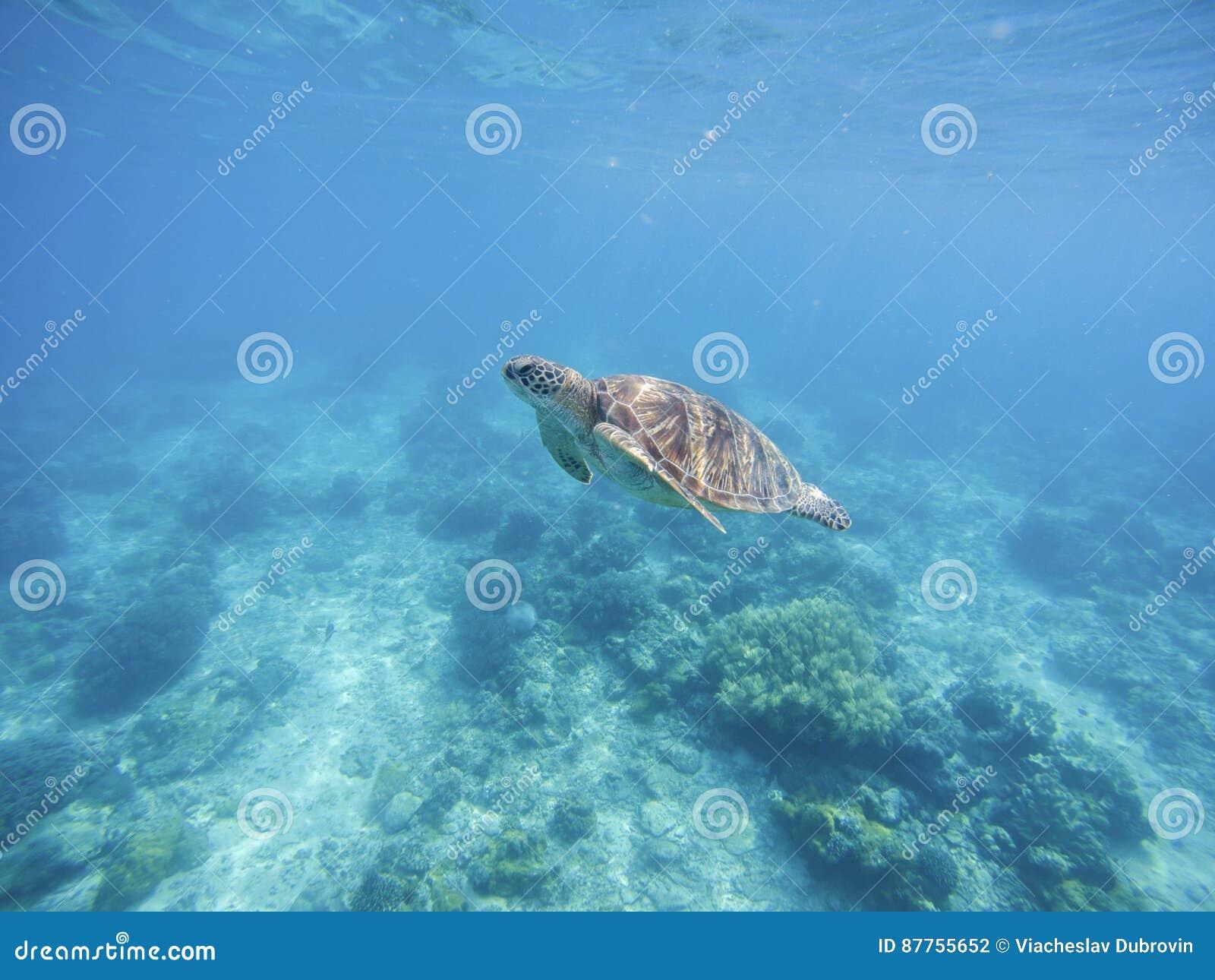 Tortuga de mar en el santuario de Filipinas Tortuga verde en agua de mar