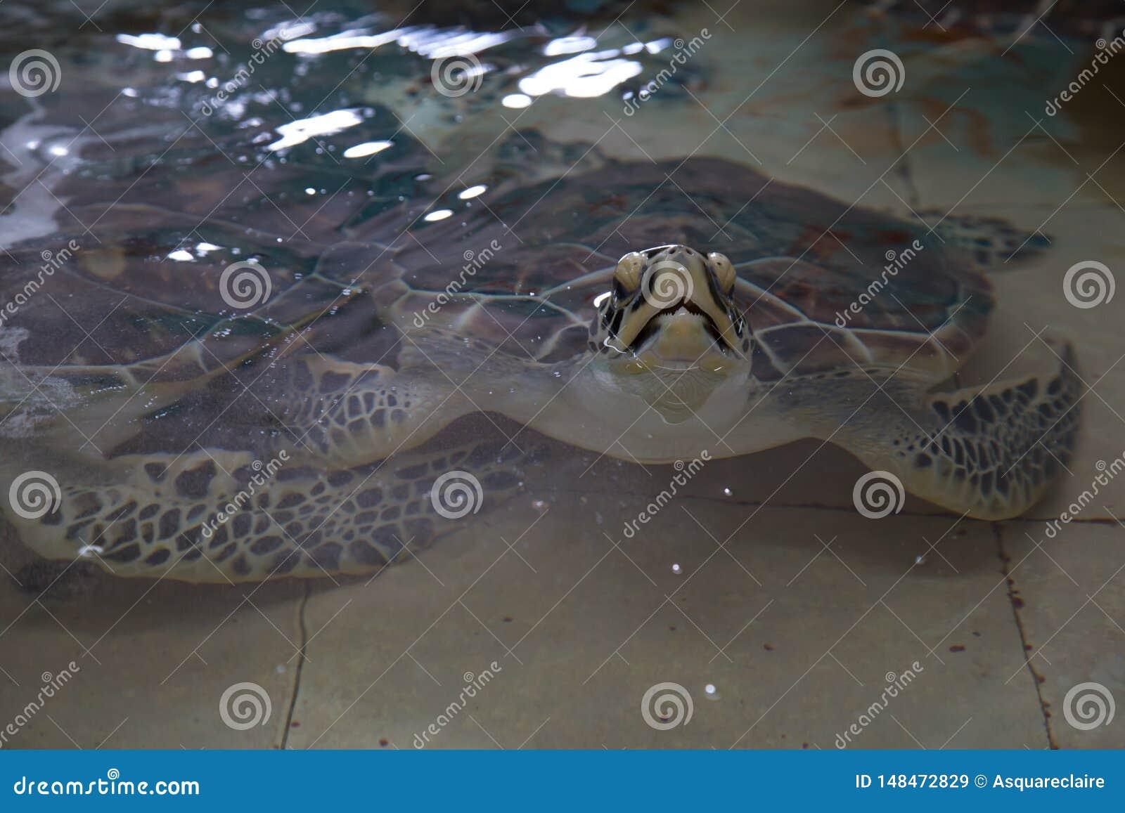 Tortuga de mar en peligro del hawksbill dentro de un tanque del santuario del acuario