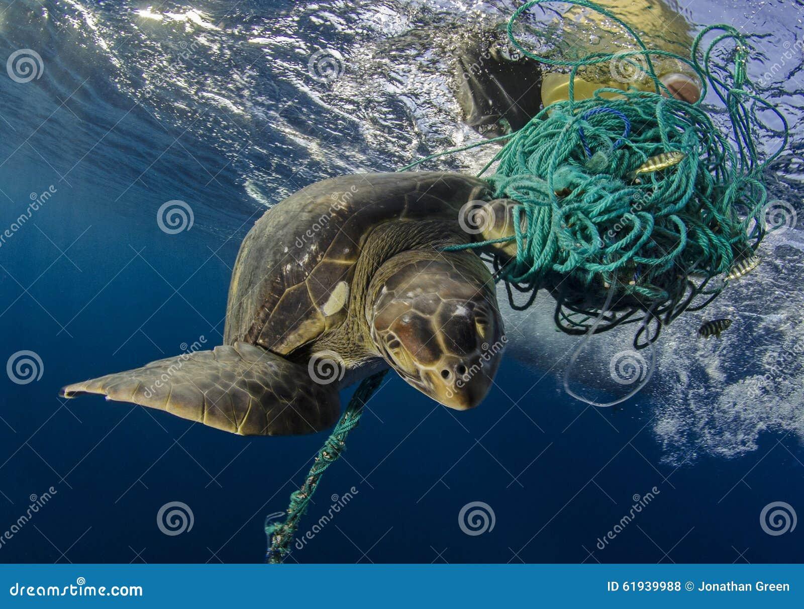 Tortuga de mar verde, las Islas Galápagos