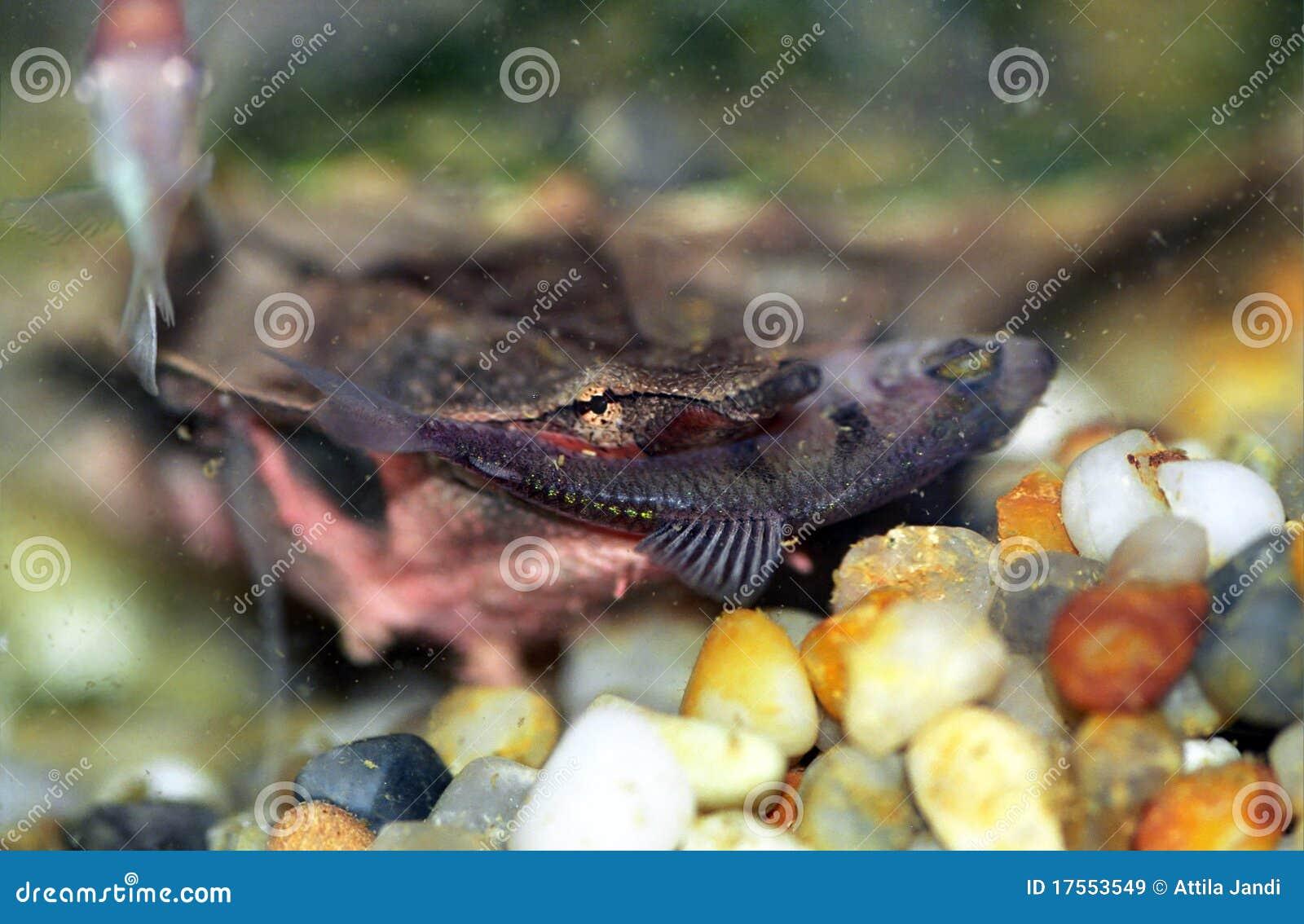 Tortuga de Mata Mata en un terrario