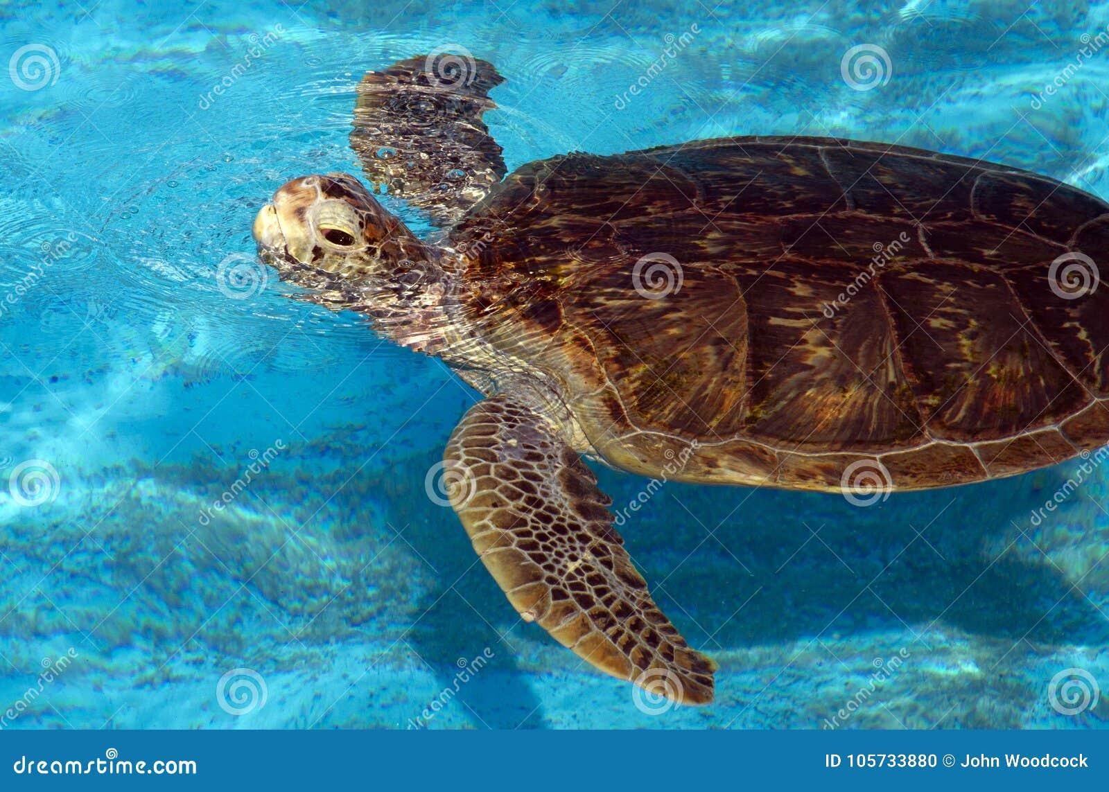 Tortuga de necio de la natación