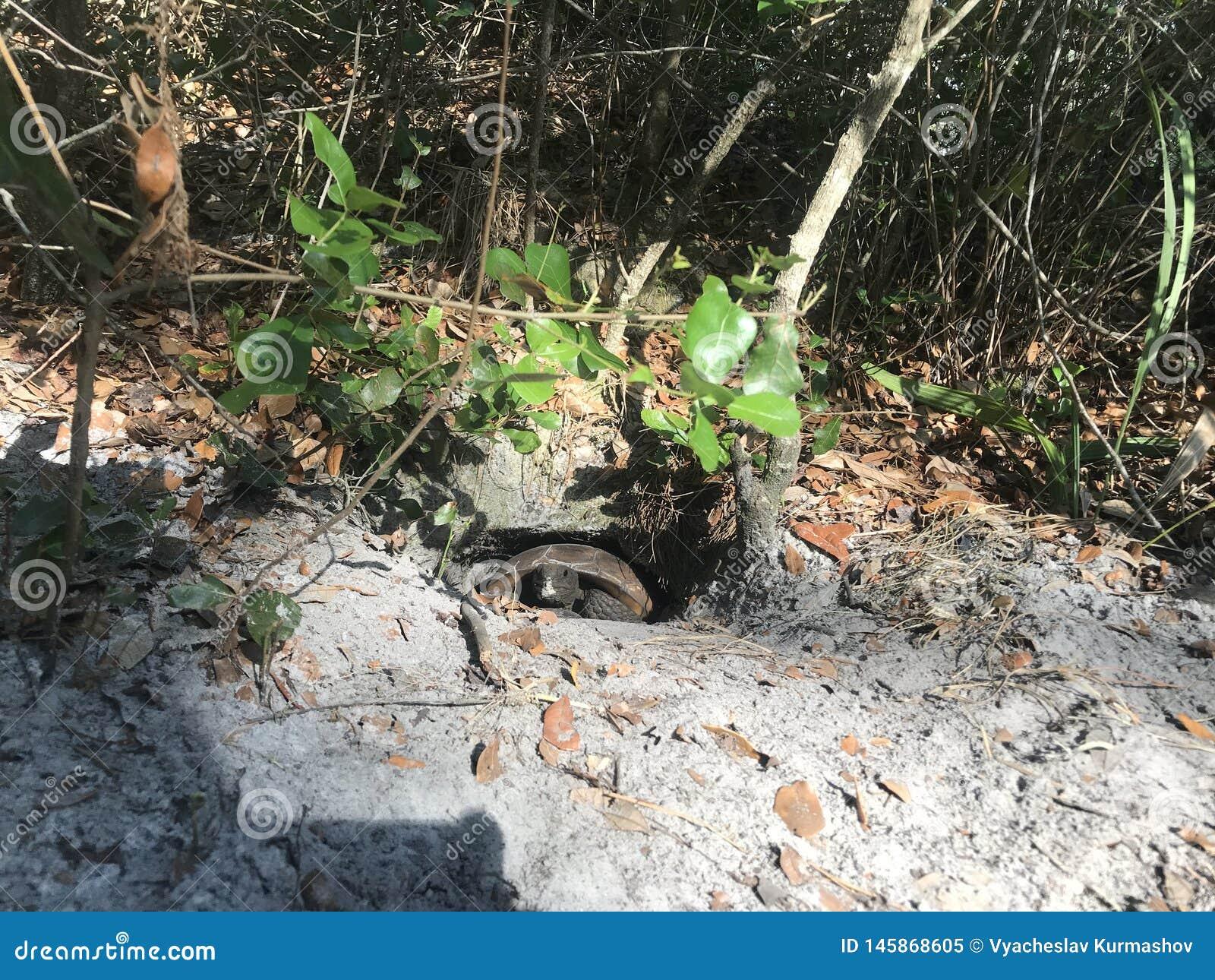 Tortuga en un agujero tortuga que oculta en un agujero cavado en un parque