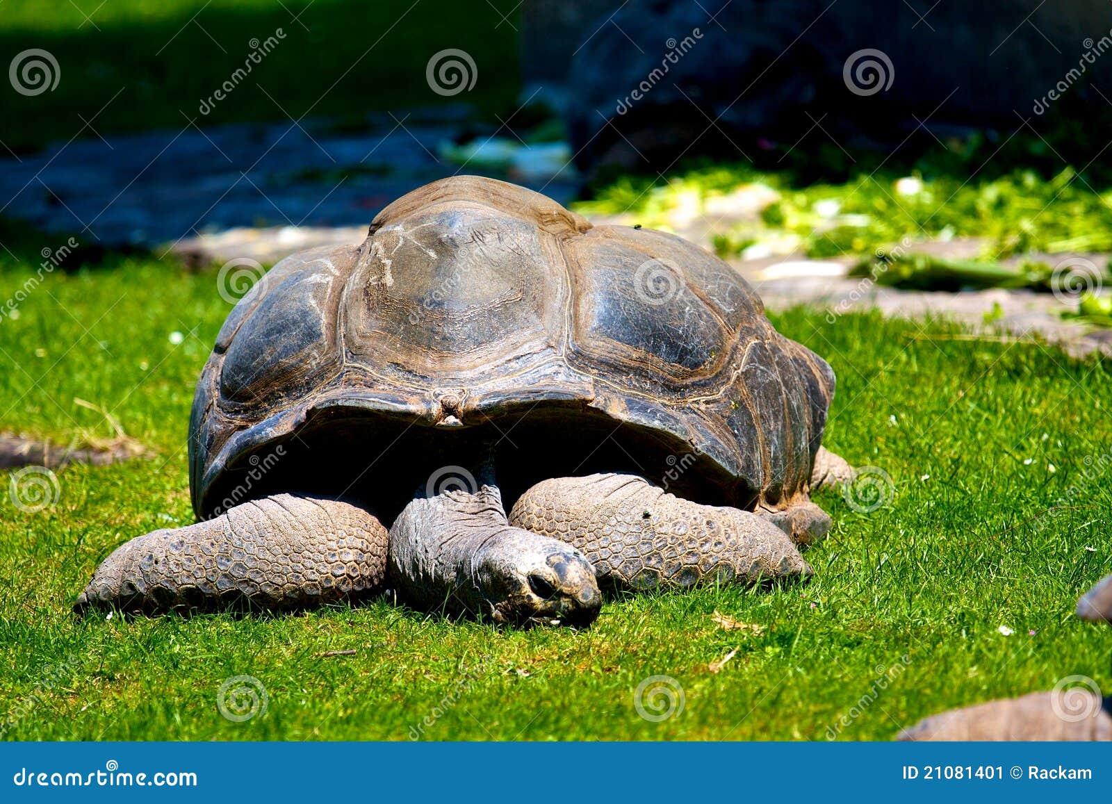 Tortuga gigante el dormir las Islas Gal3apagos