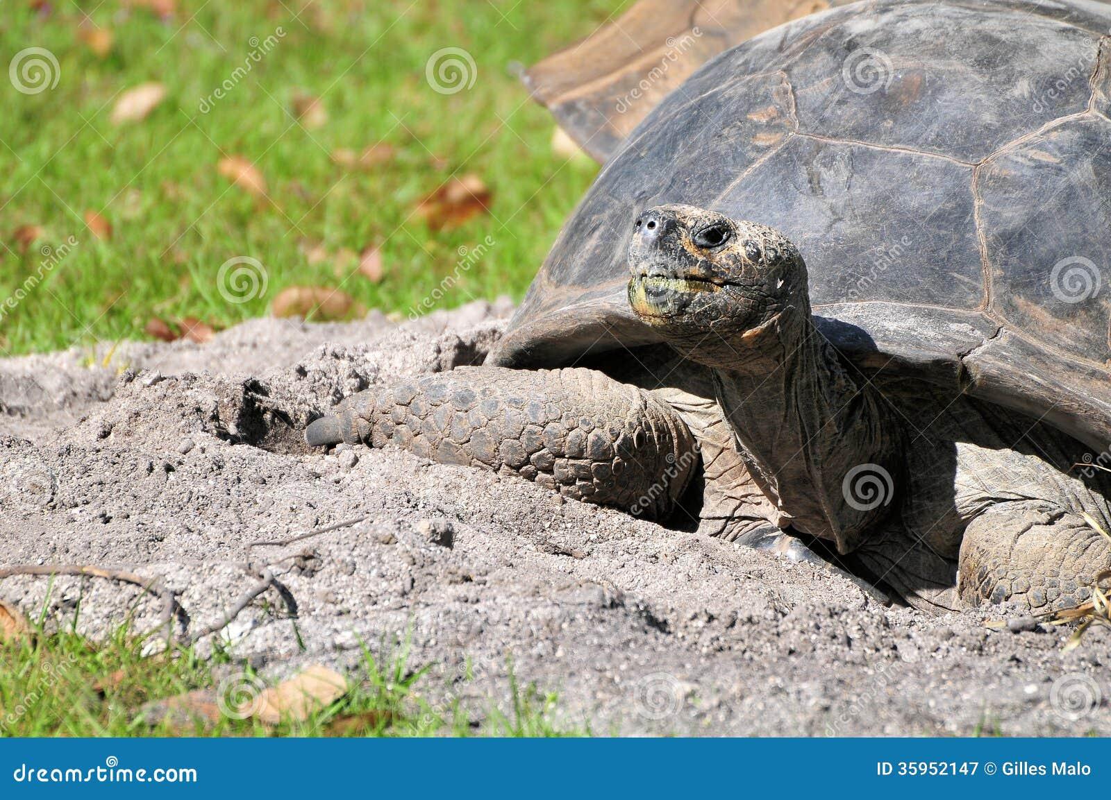 Tortuga gigante en parque zoológico
