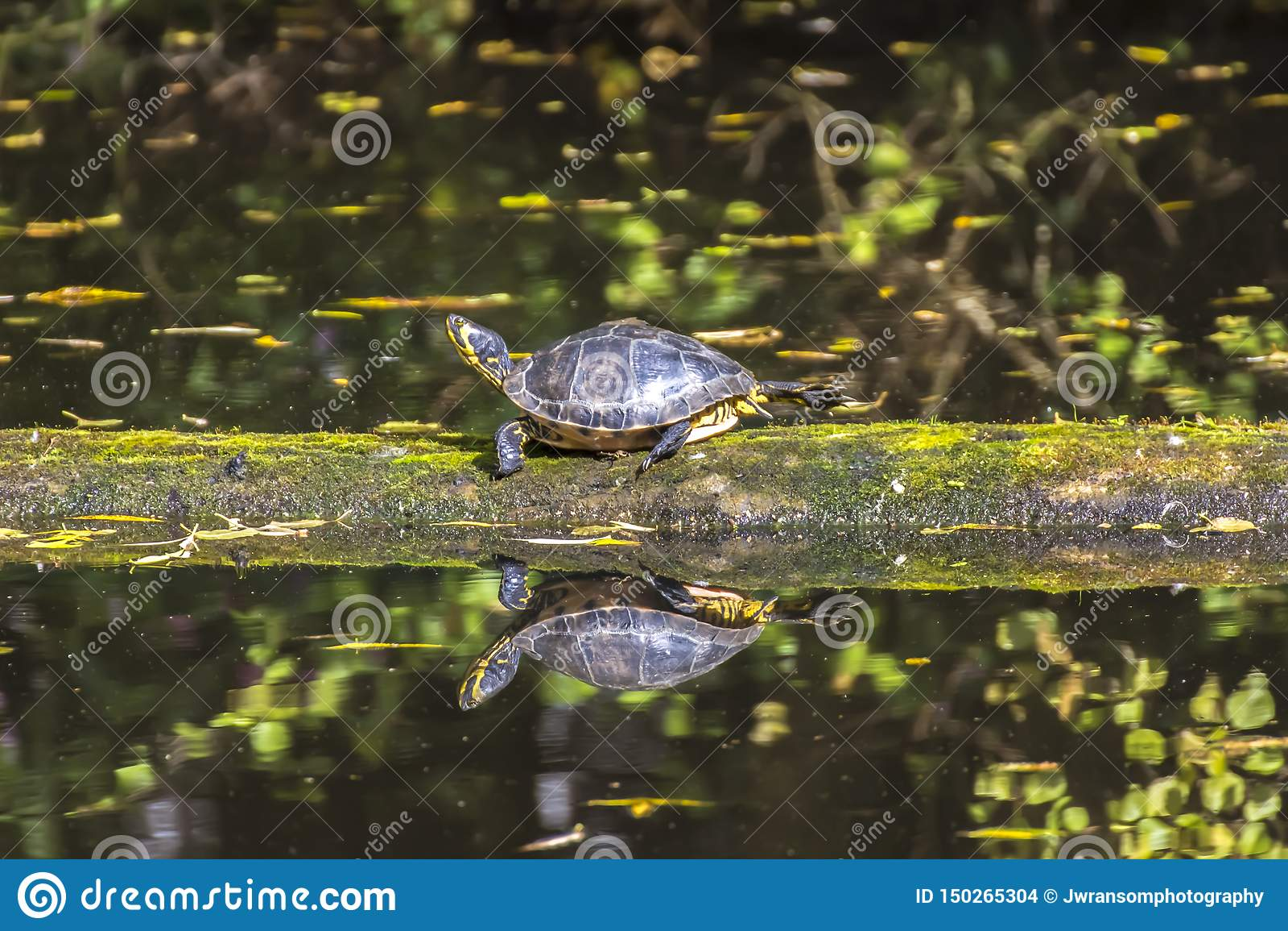 Tortuga hinchada amarilla que camina en un registro que flota en agua