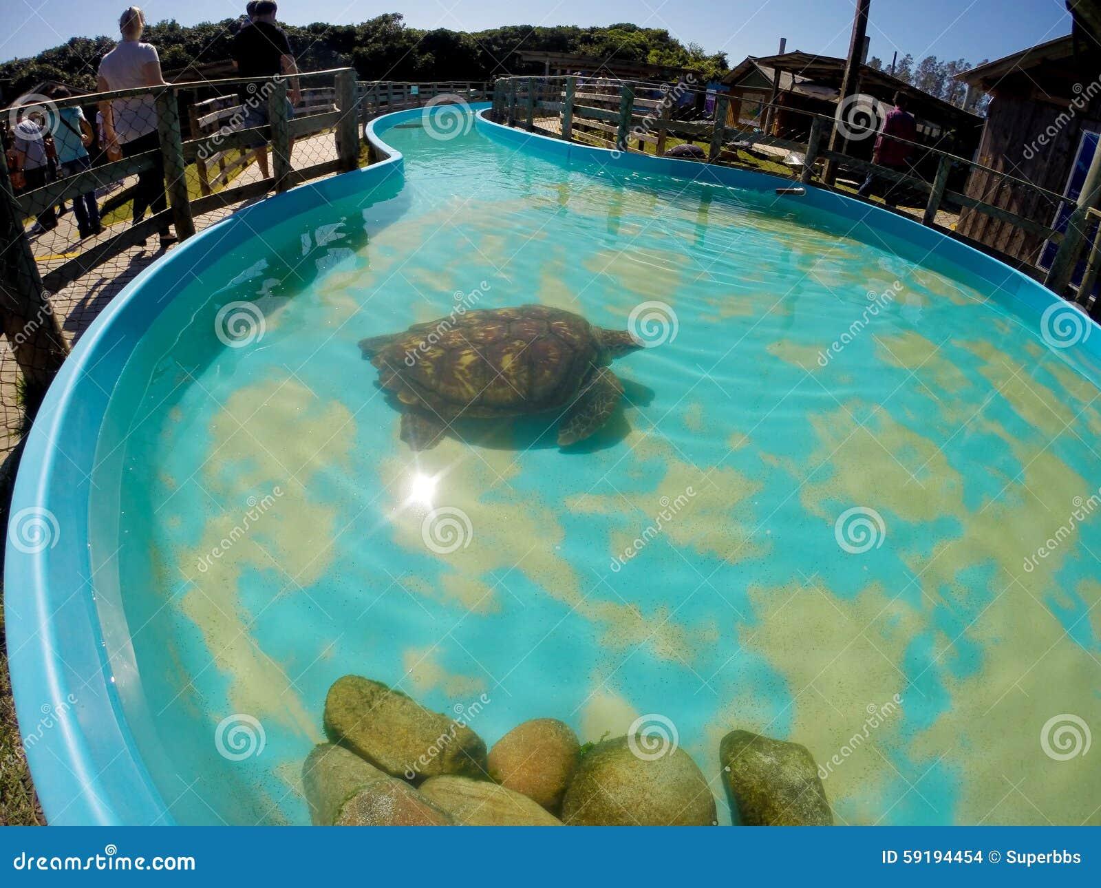 Tortuga marina en agua de la piscina foto de archivo for Piscina para tortugas