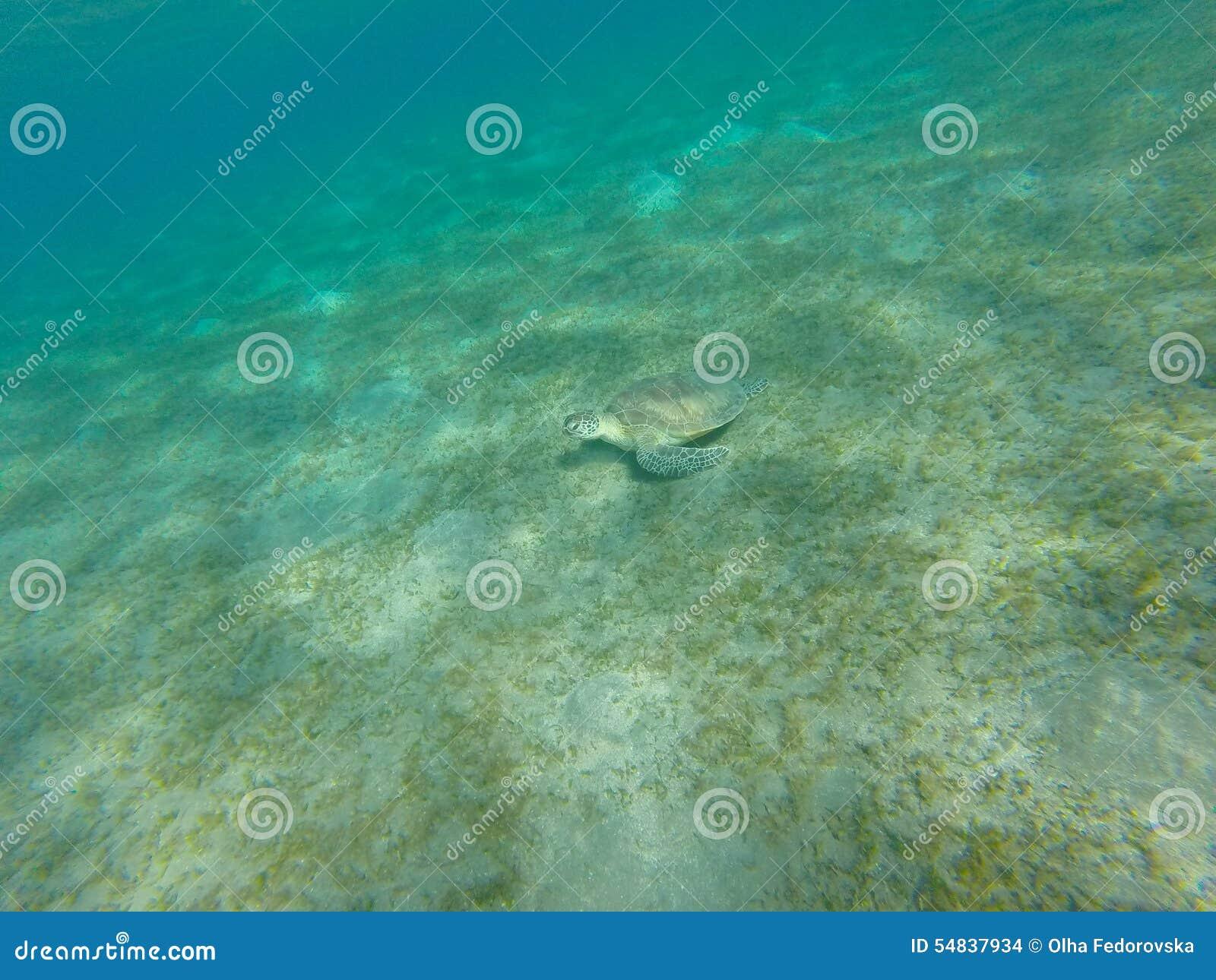 Tortuga que se sienta en la parte inferior de mar Tiro subacuático