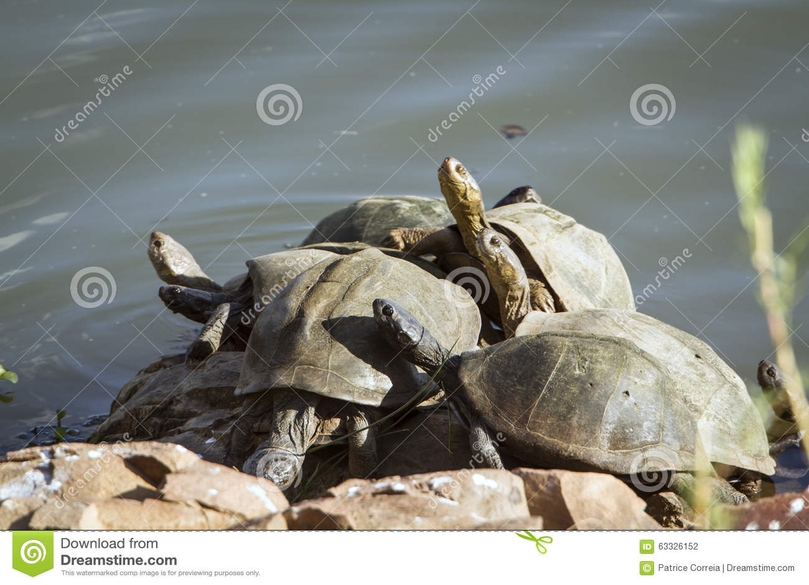 Tortugas dispuestas en ángulo en el parque nacional de Kruger, en la orilla del río