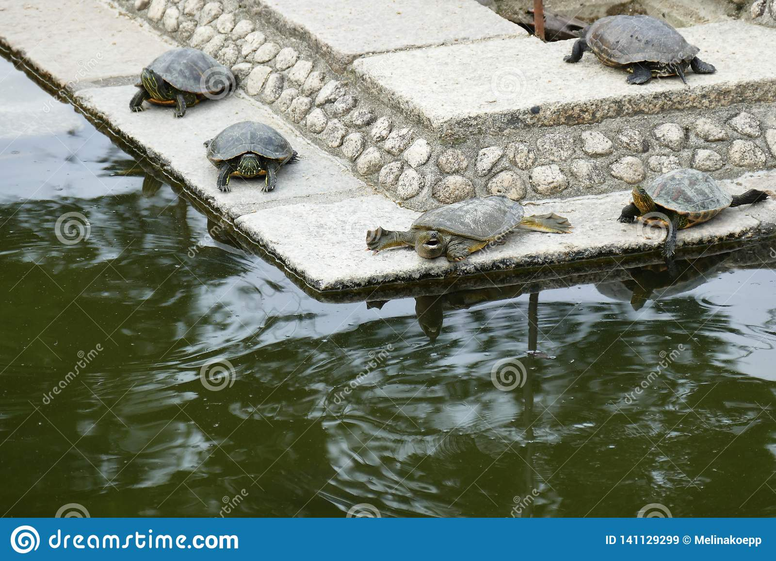 Tortugas en un pequeño lago, Nara, Japón
