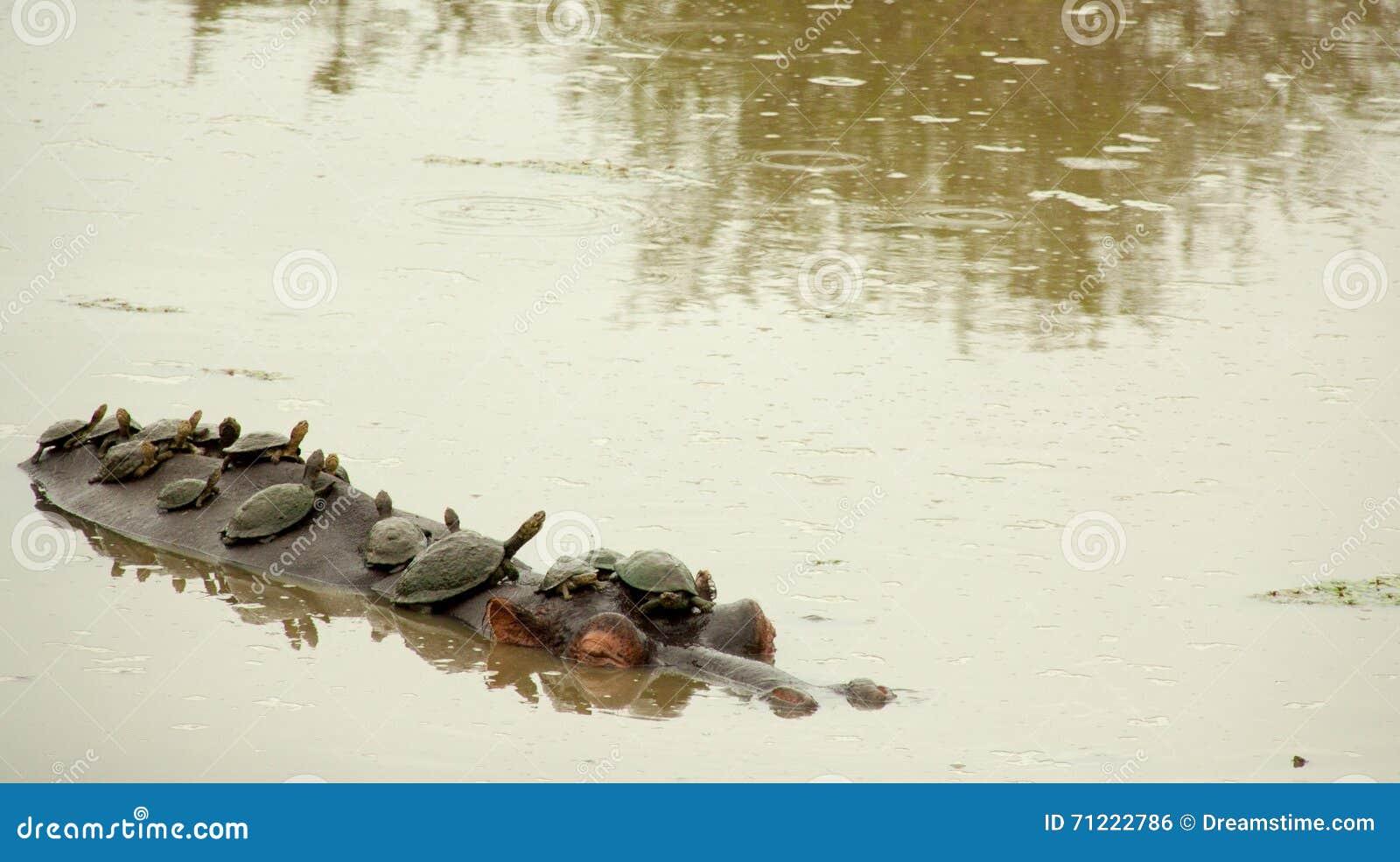 Tortugas que toman el tren del hipopótamo