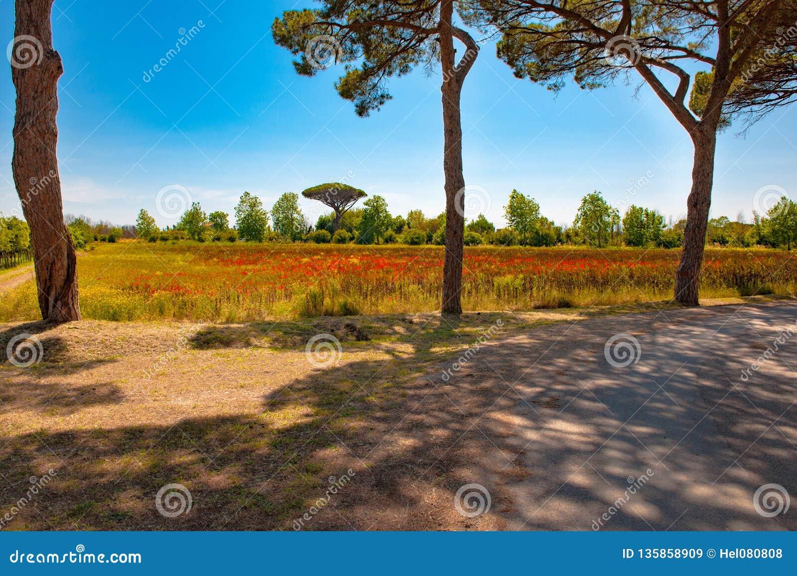 Toscana - paisaje hermoso, trayectoria con la sombra debajo de los pinos, campos con las amapolas salvajes
