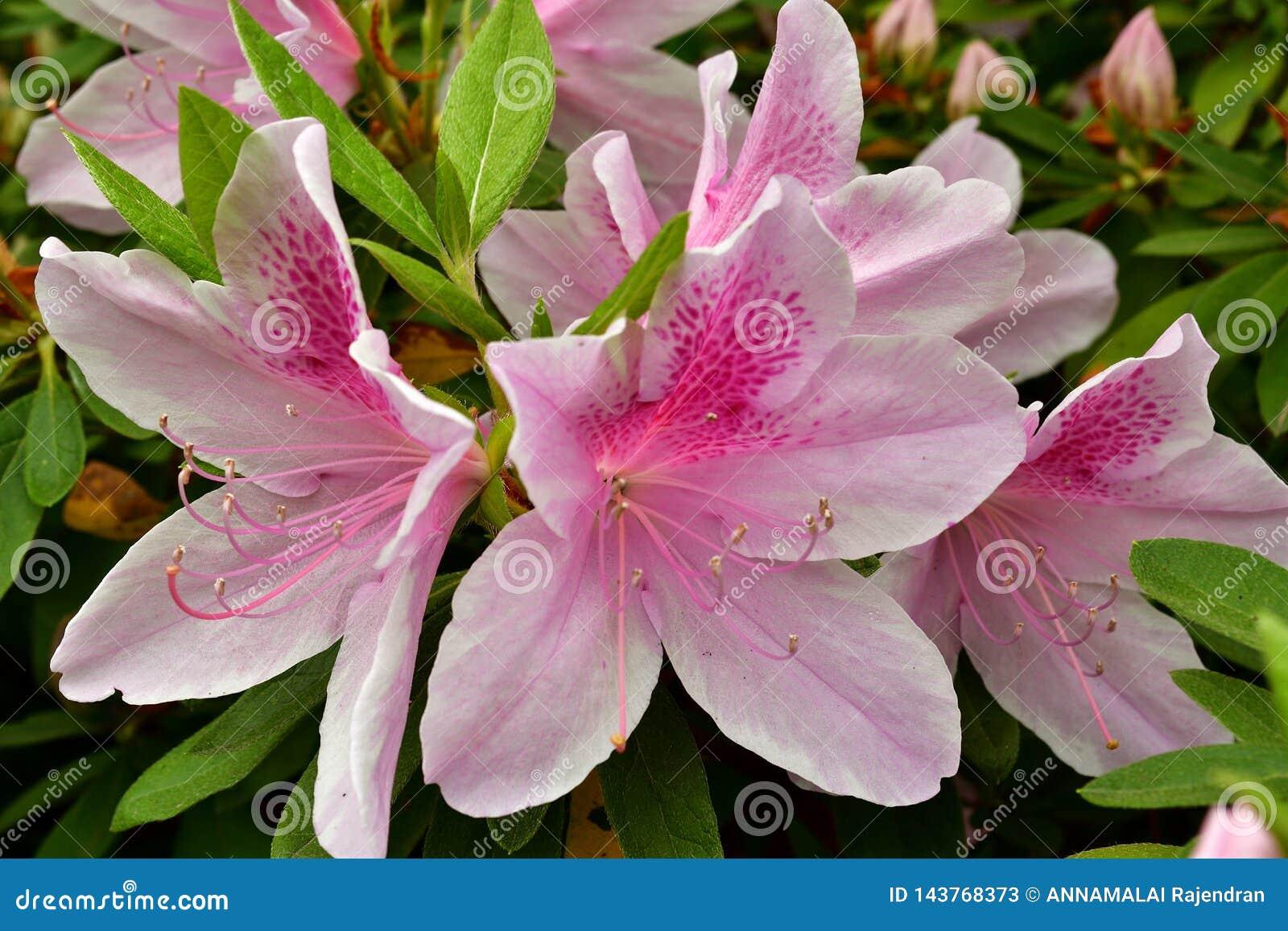 Tot bloei gekomen Roze Lelie