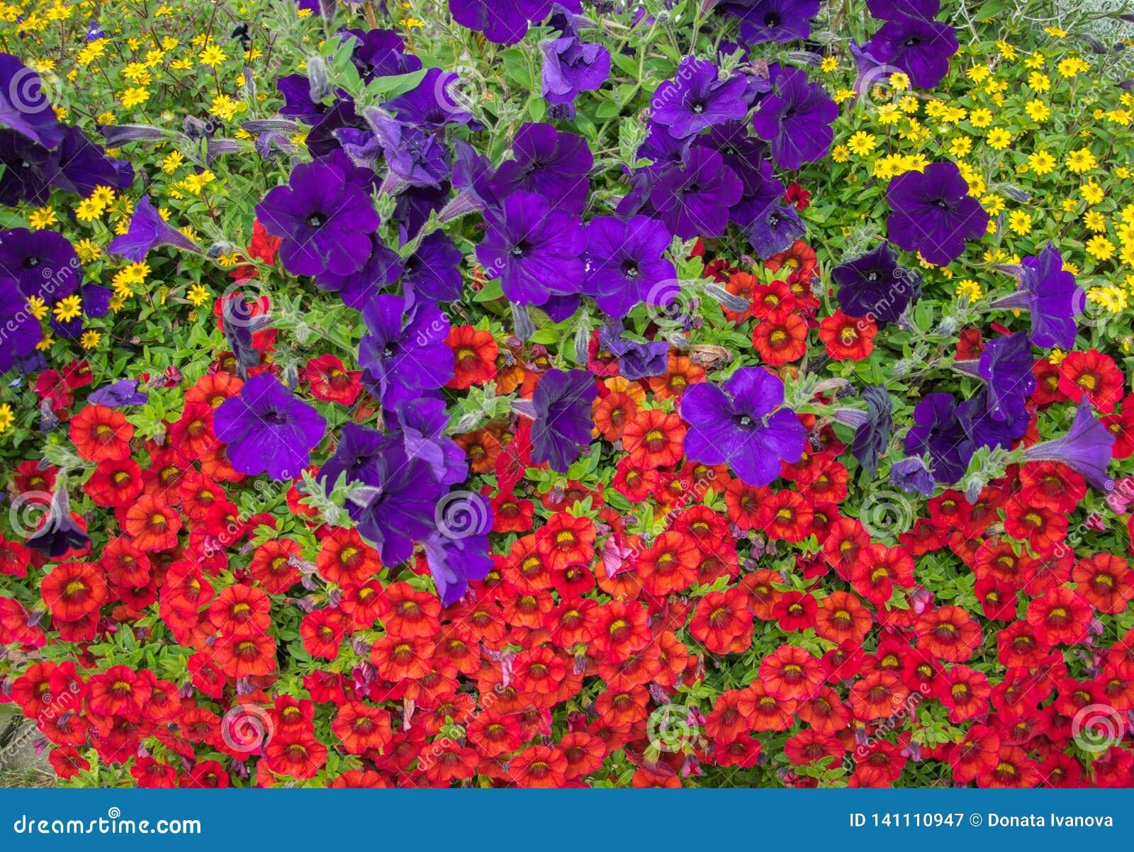 Tot bloei komende heldere bloemen op een bloembed in de heldere zonlichtclose-up