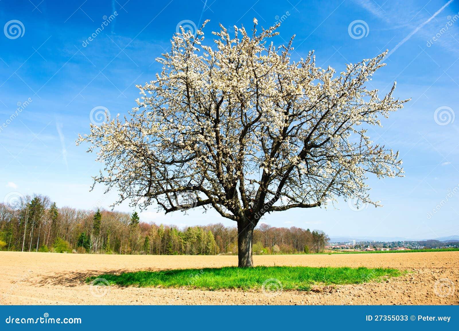 Tot bloei komende kersenboom