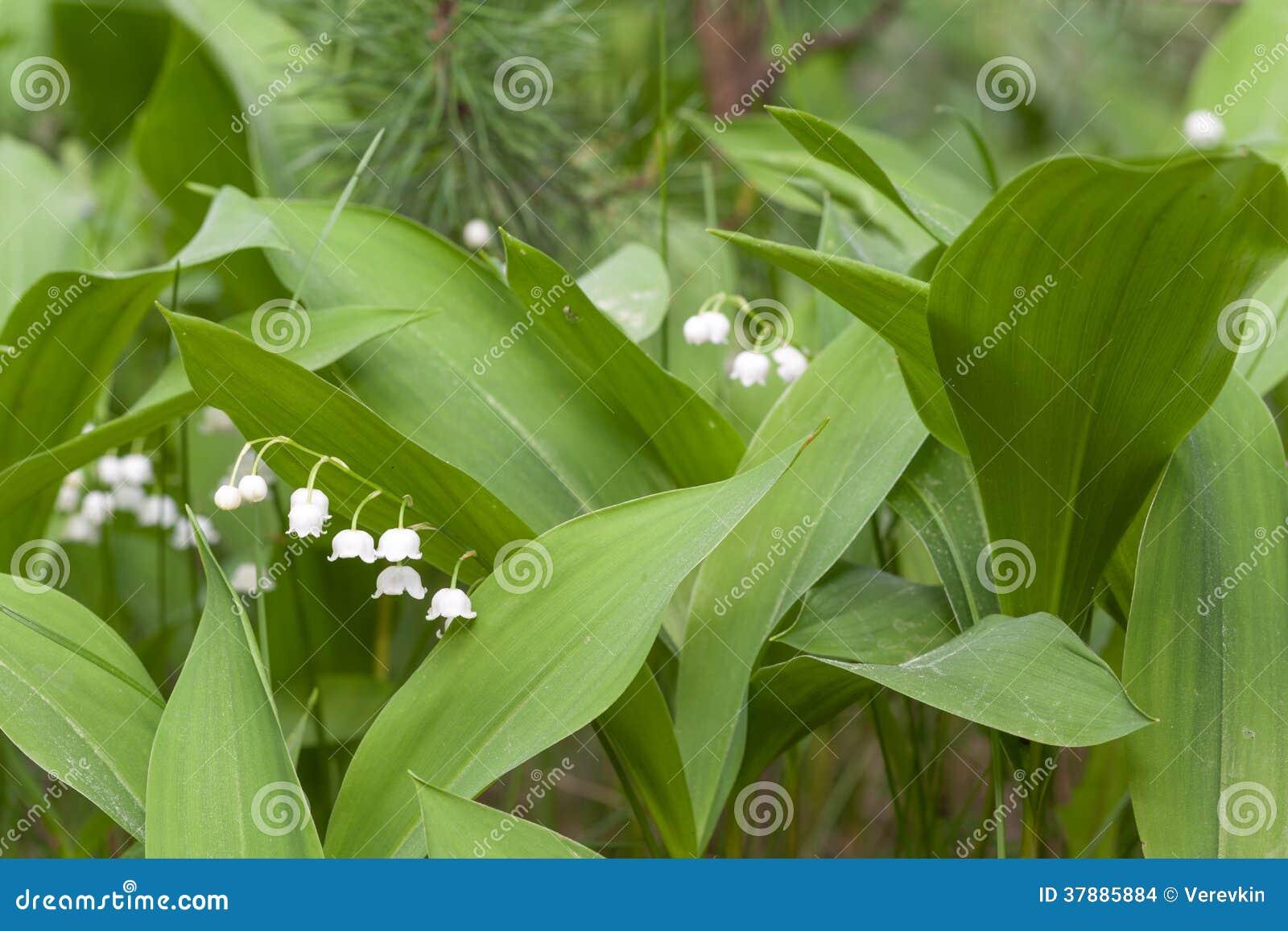 Tot bloei komende lelies