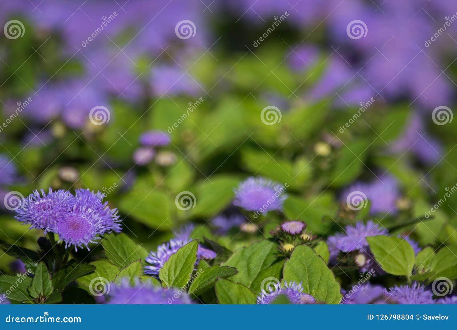 Tot bloei komende lilac installatie Ageratum, zachte nadruk