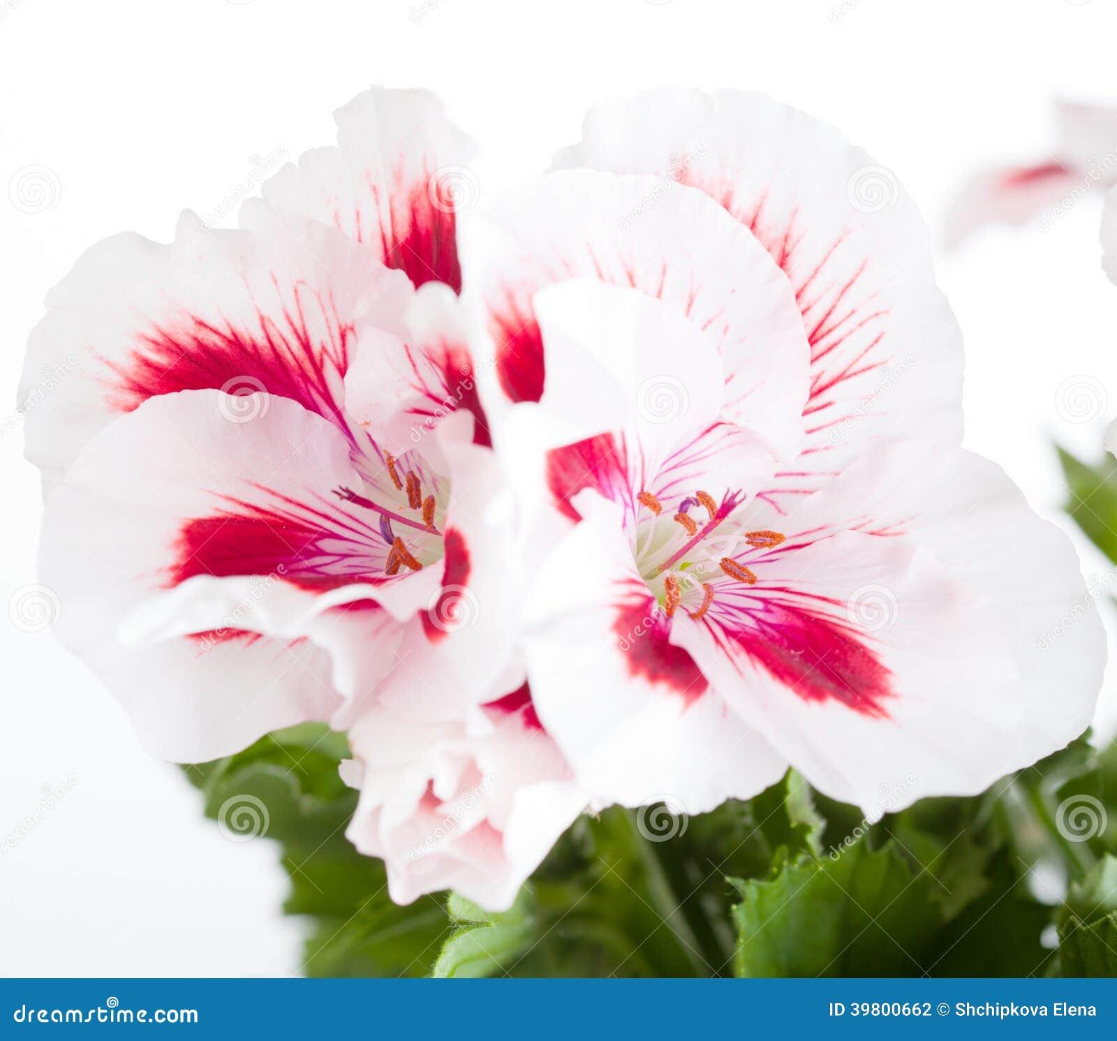 Rode geranium op witte achtergrond royalty vrije stock foto's ...