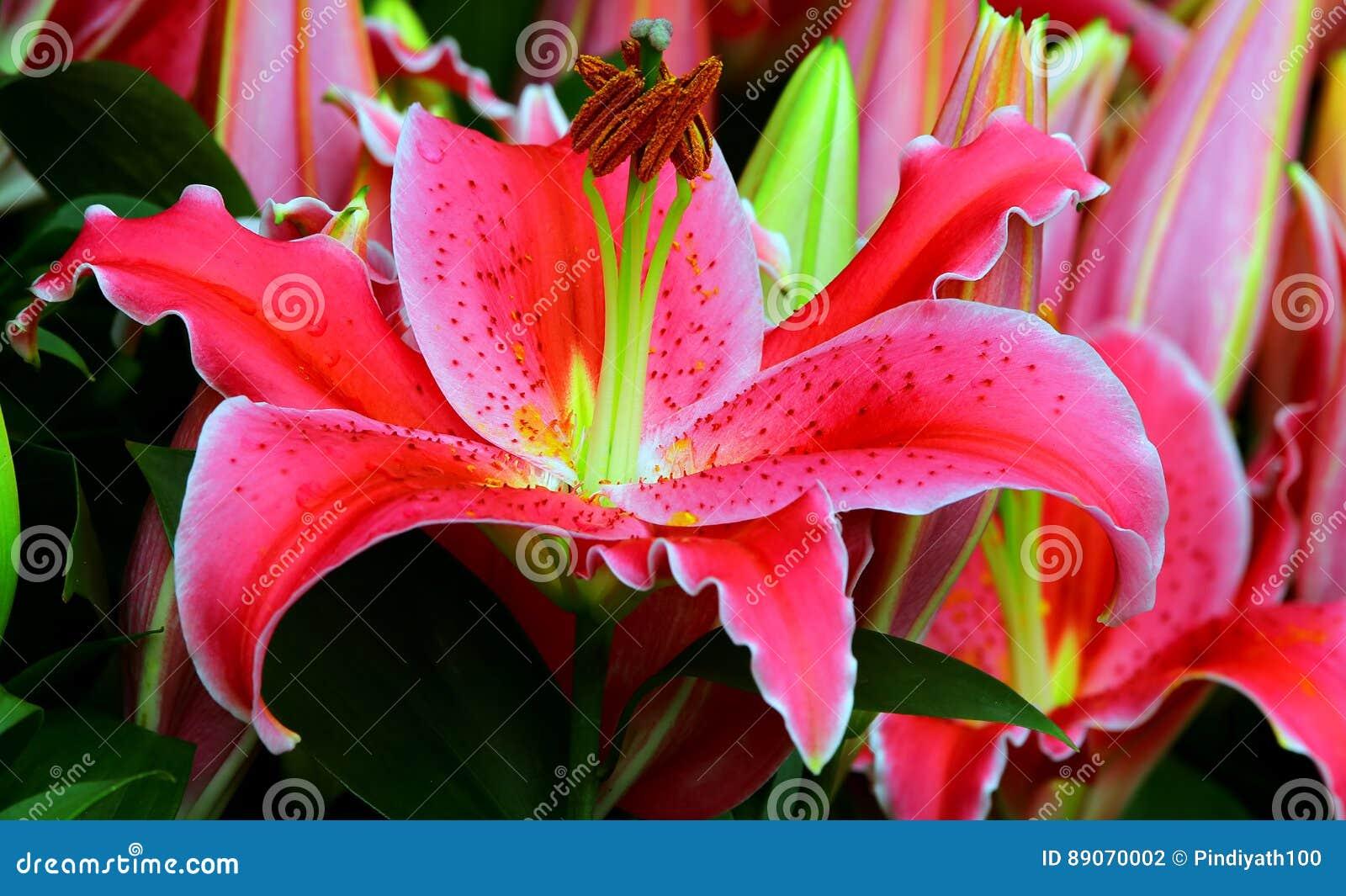 Tot bloei komende roze leliebloem