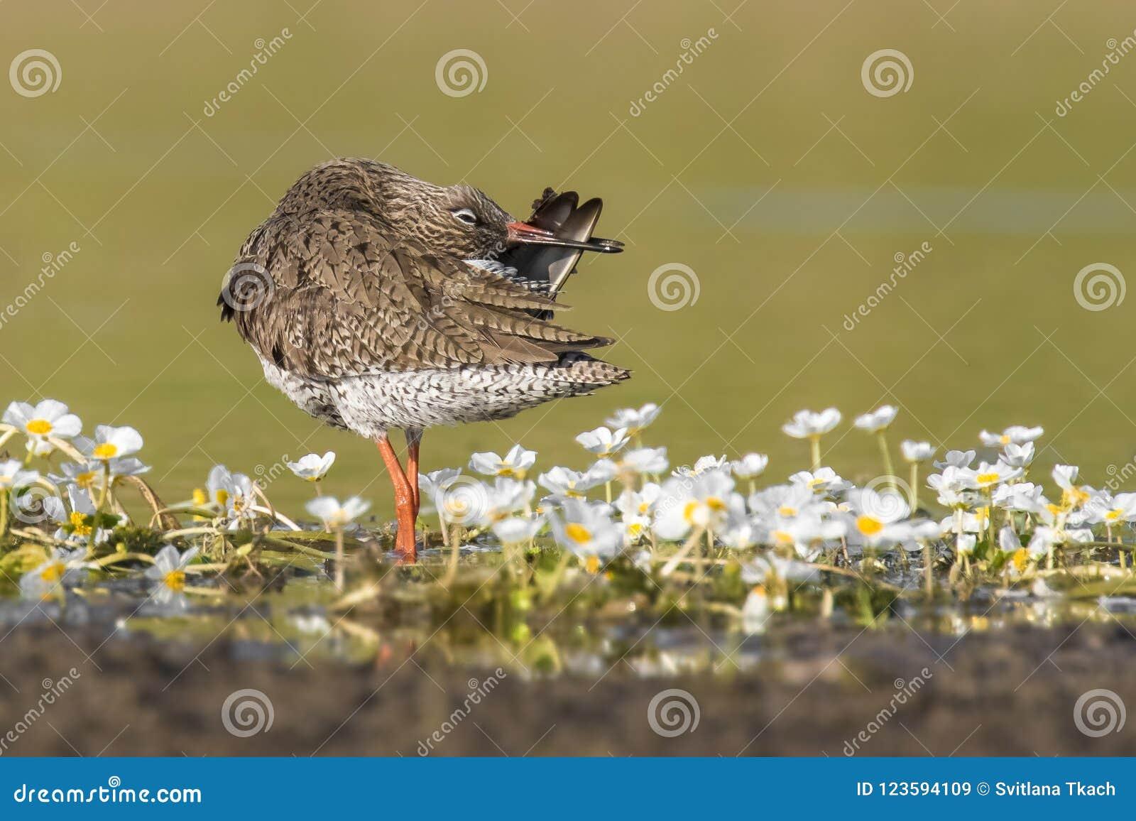 Totanus comune del Tringa della pettegola dell uccello stupefacente dalla Castiglia-La Mancha di regione in Spagna