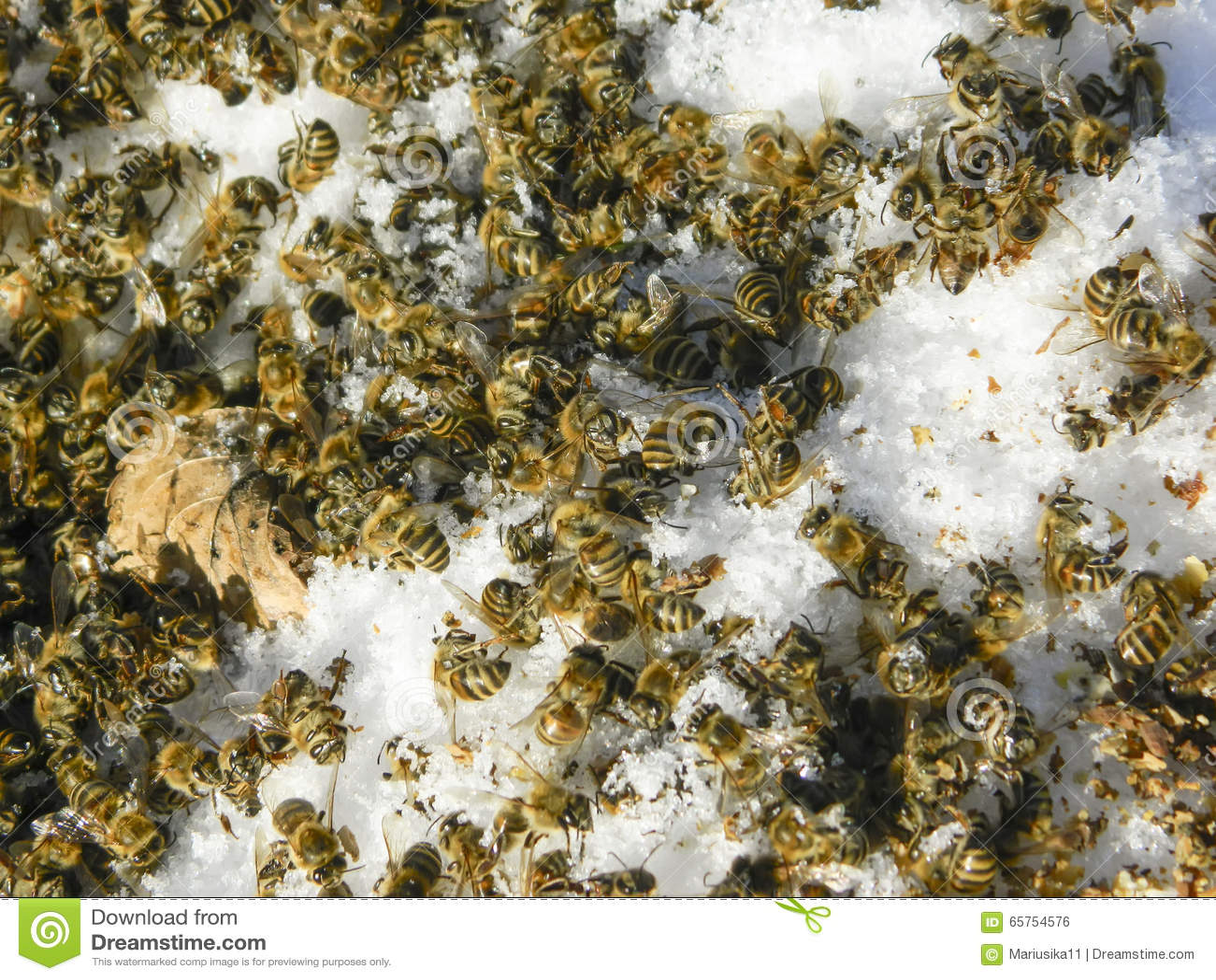 Tote Bienen Im Winter Stockfoto Bild Von Winterschlaf 65754576
