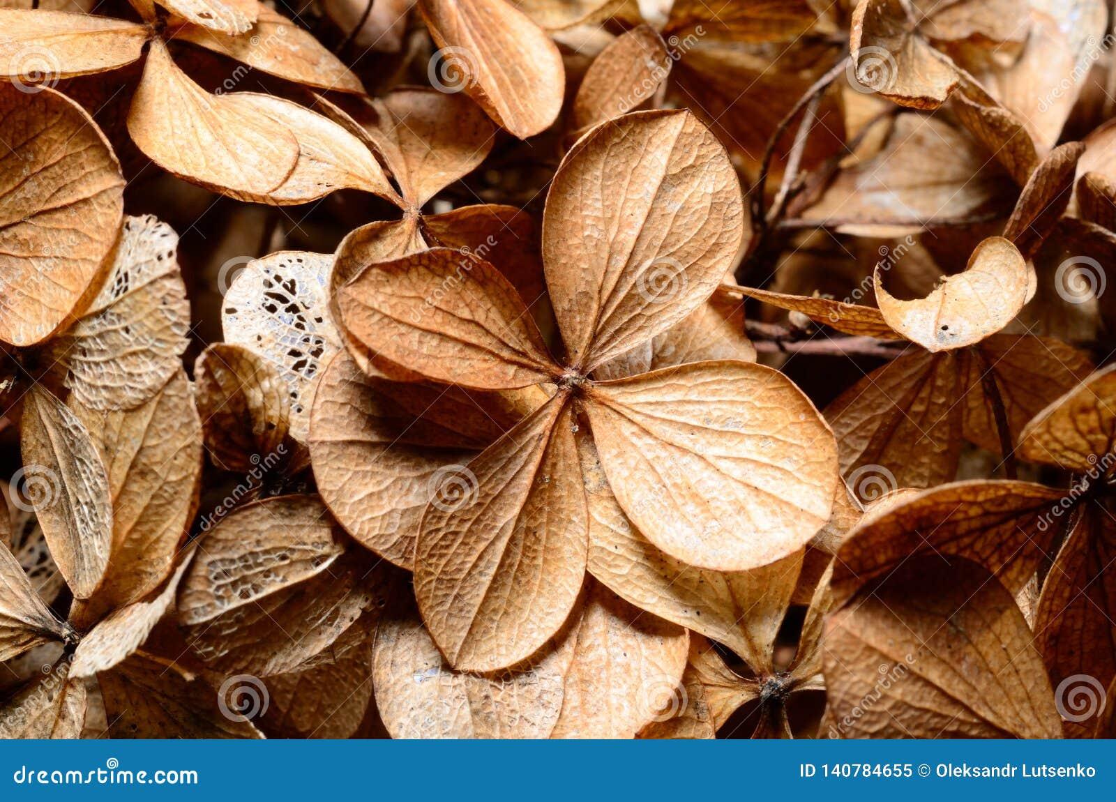 Tote Hortensieblumen