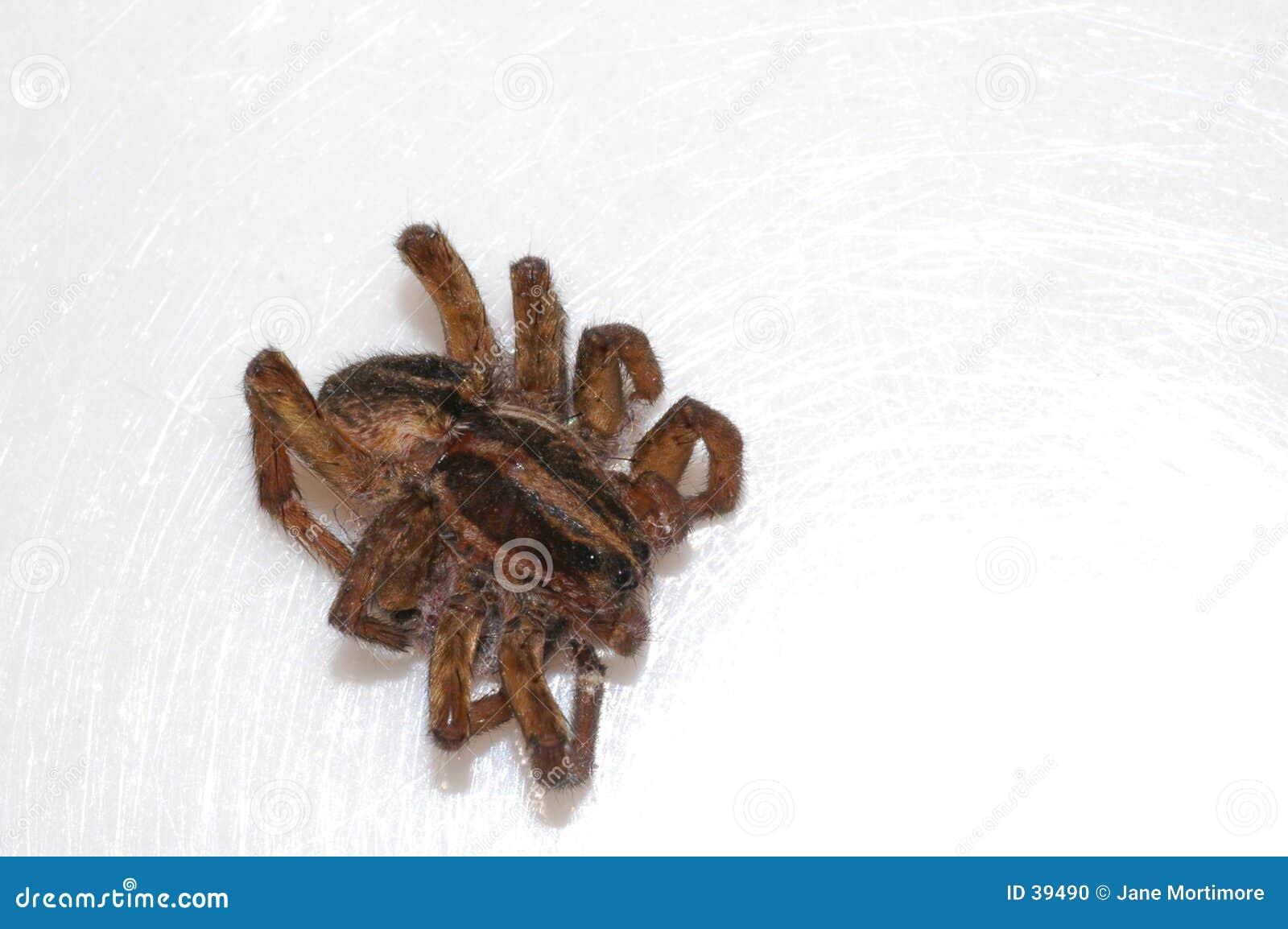 Tote Spinne