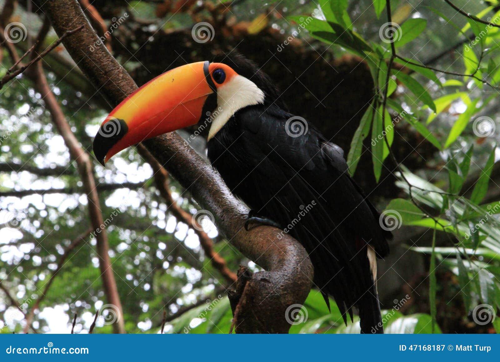 Toucan in the Amazon Jungle