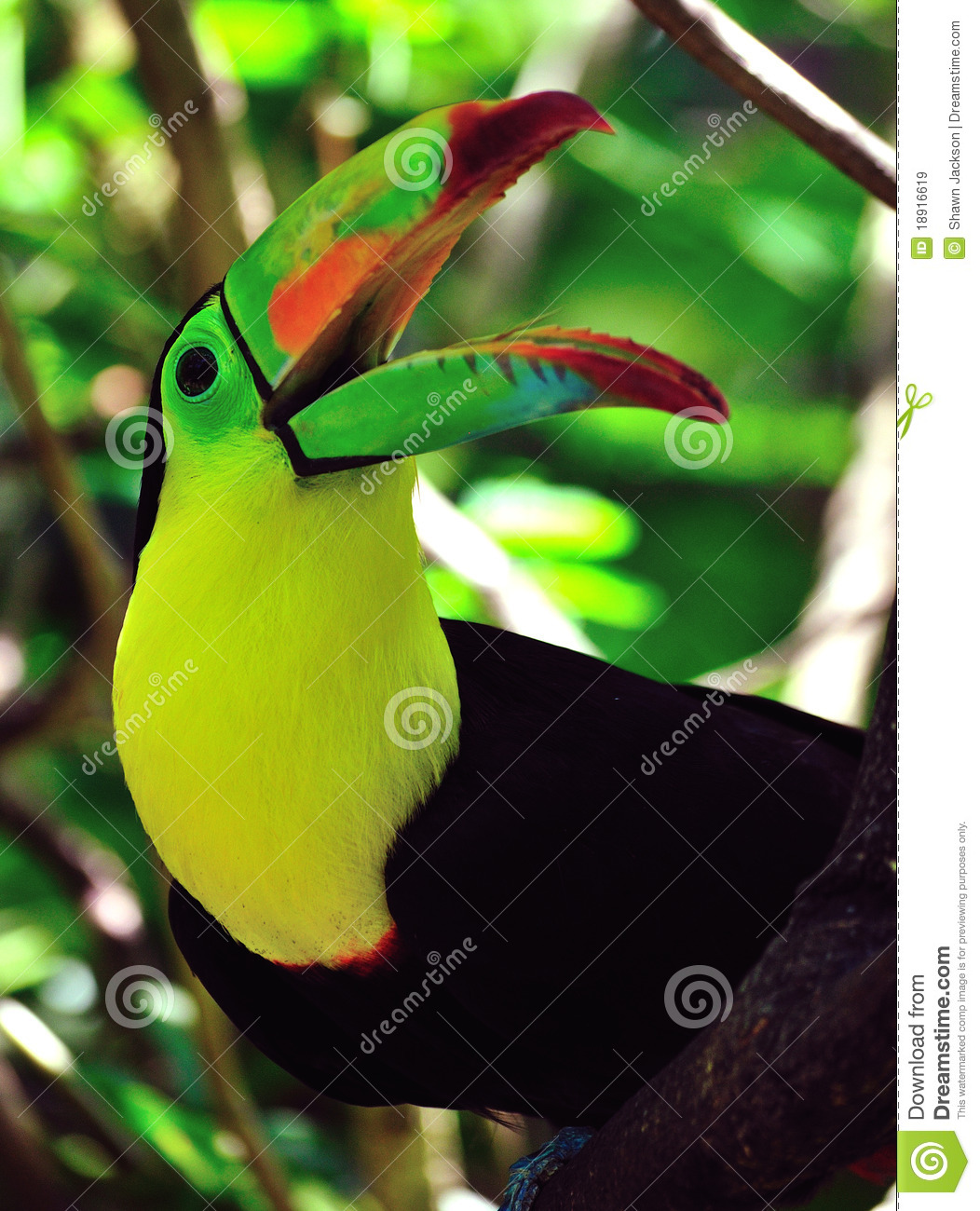 Toucan with beak open