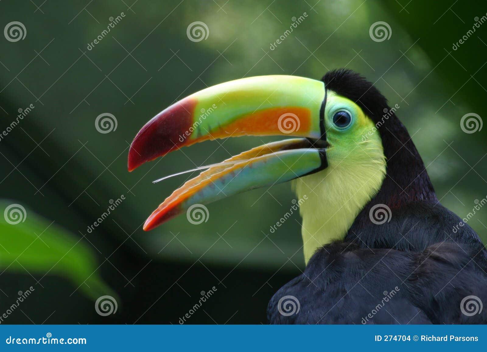 Toucan Profil